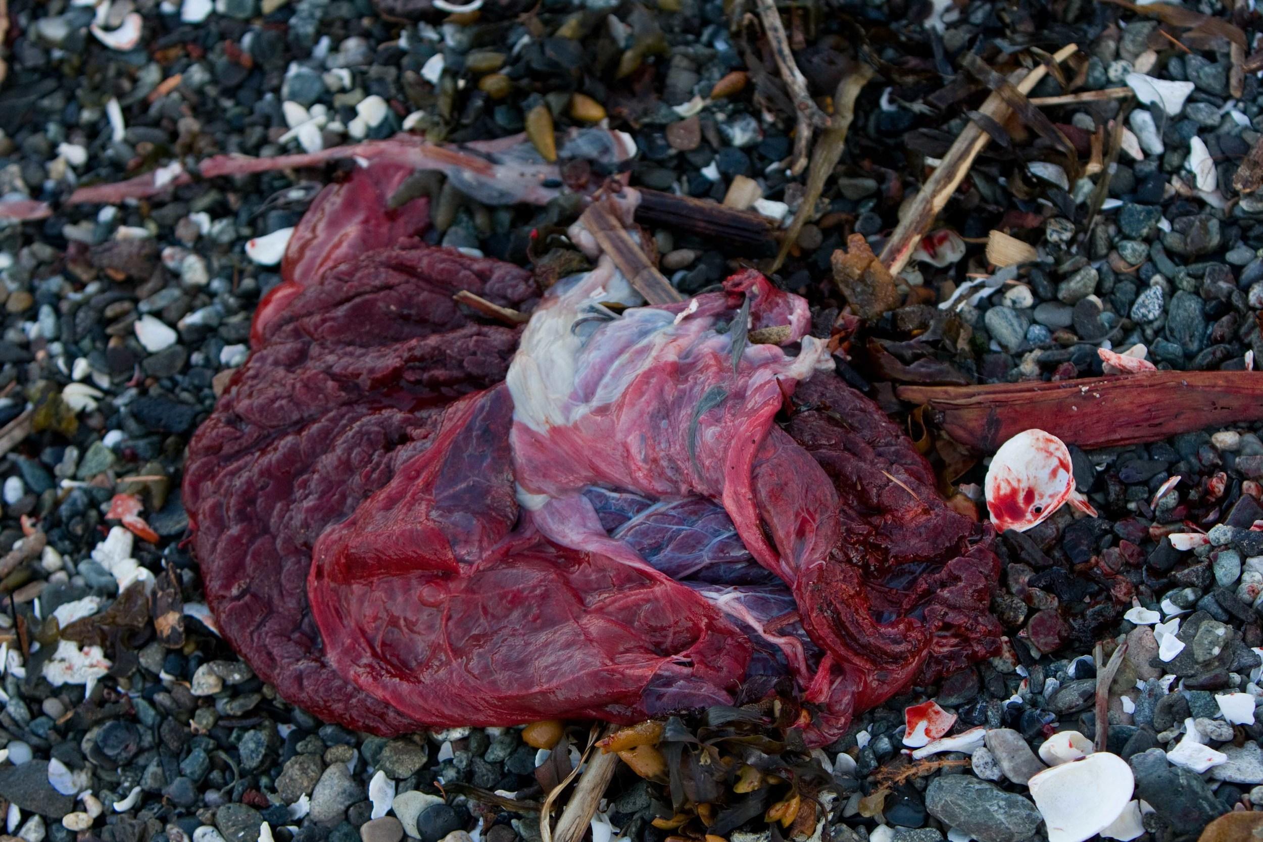 Seal Placenta