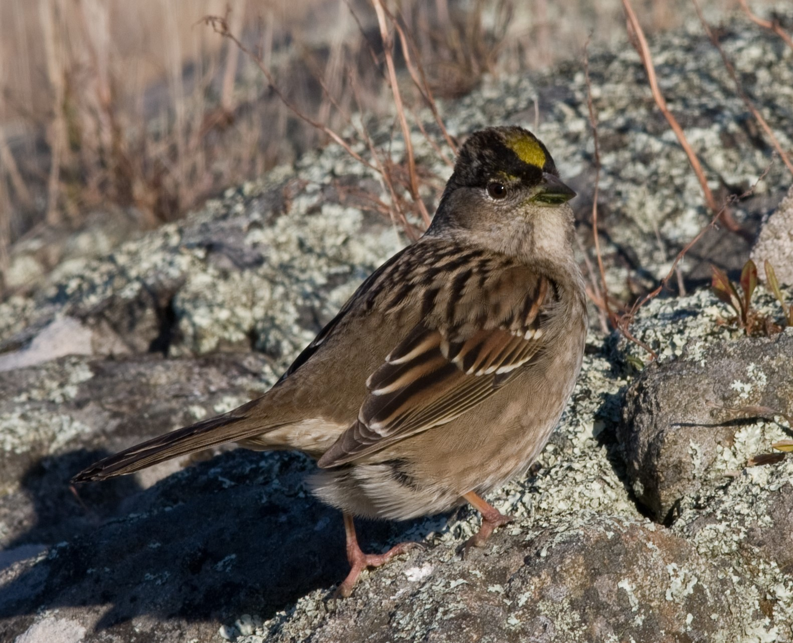 Golden-crowned sparrow, a winter resident