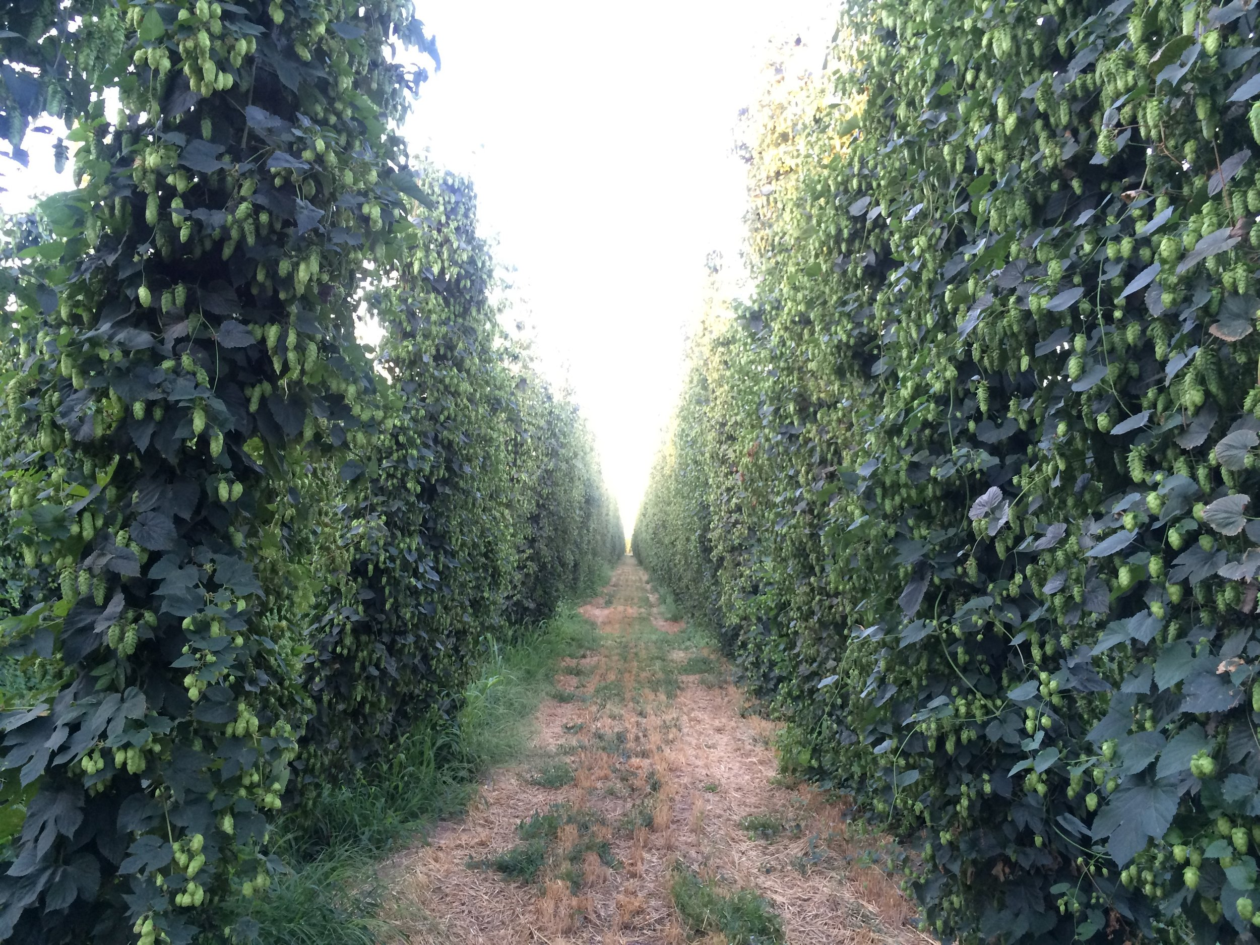 Hops in Yakima Valley grow well thanks to irrigation from the forests of the Cascade Mountains.