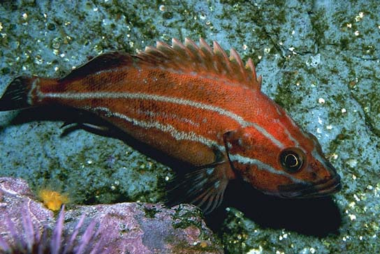 Yelloweye Rockfish; Photo from NOAA
