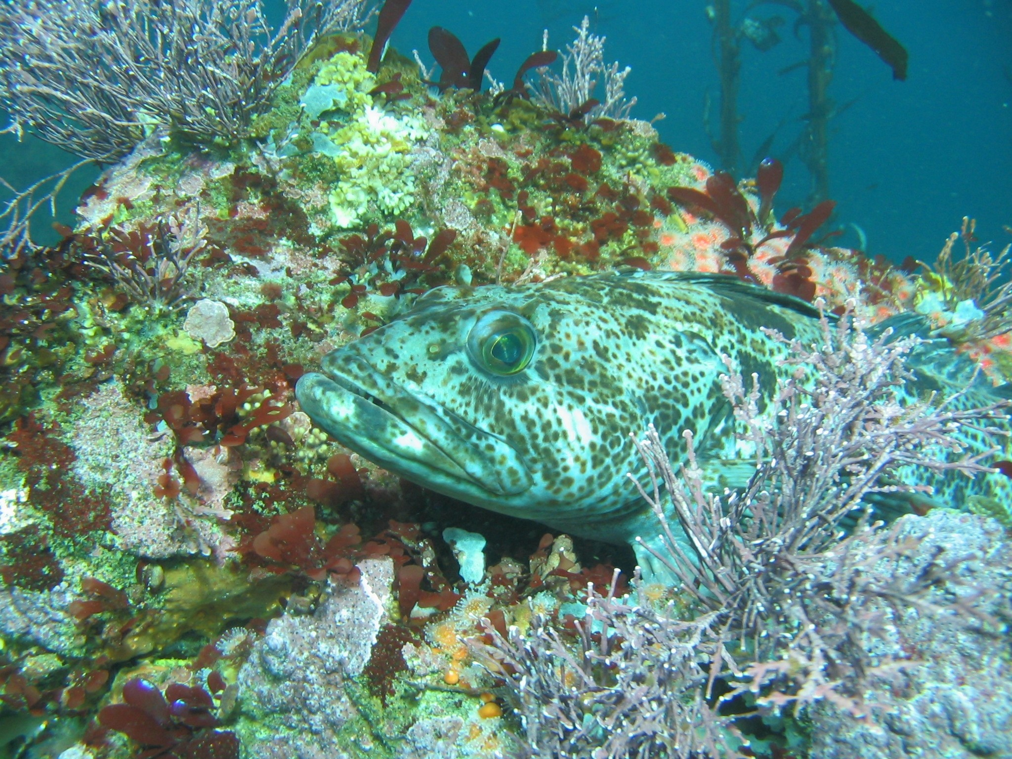 Lingcod; Photo from NOAA