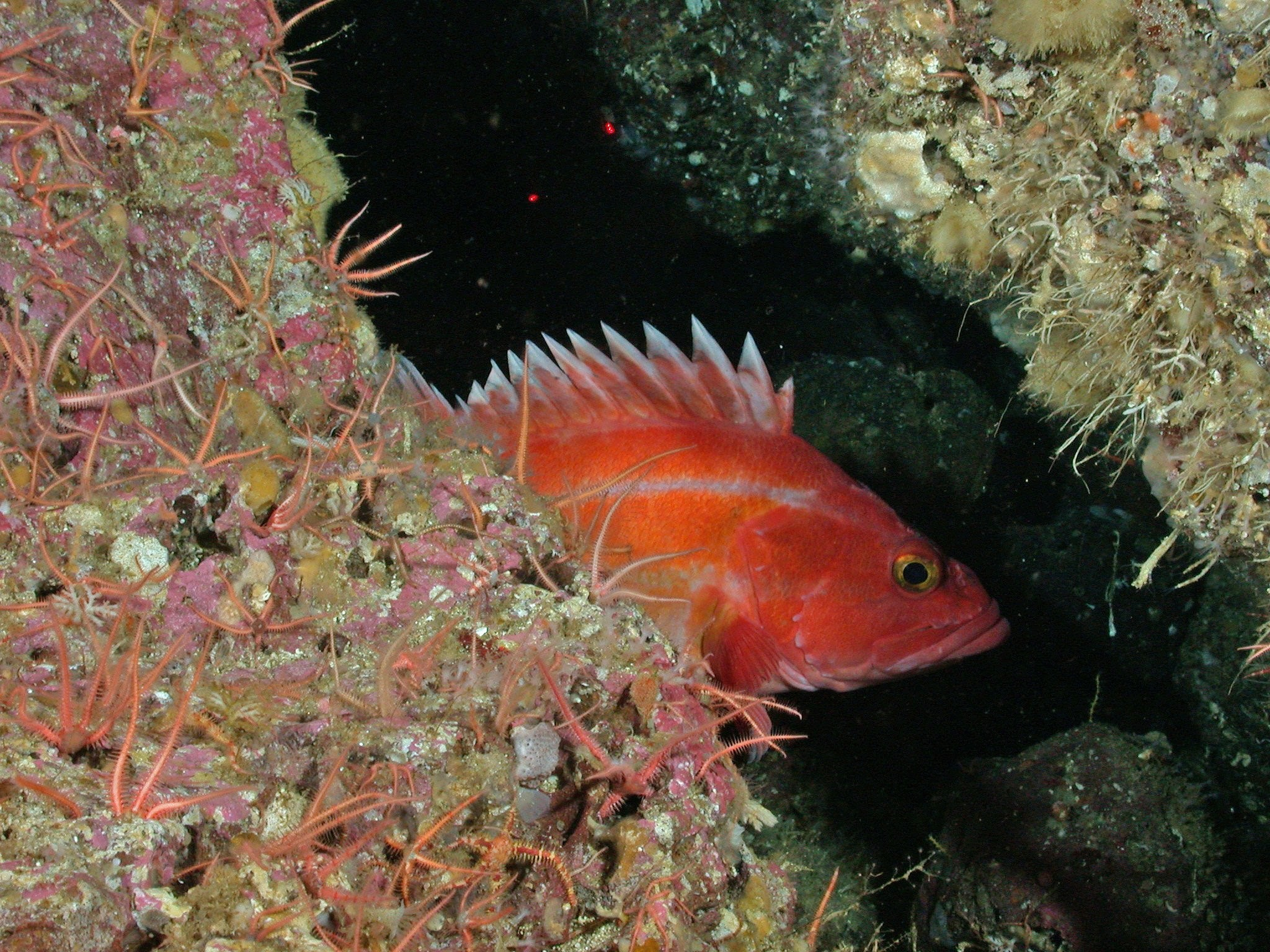 Juvenile yelloweye rockfish; Photo from NOAA