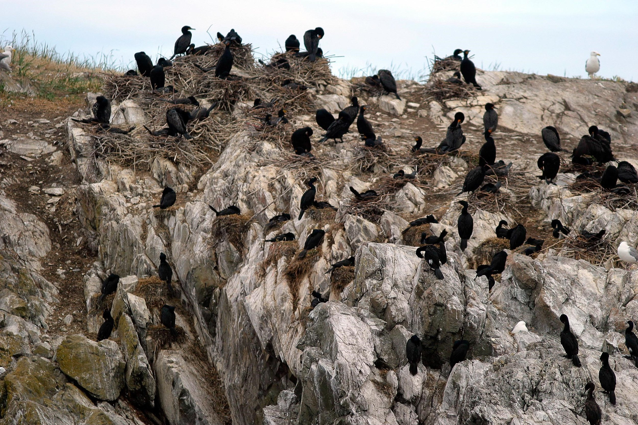 Close-up of the double-crested cormorants' stick nests and pelagic cormorants's cliff-faced nests