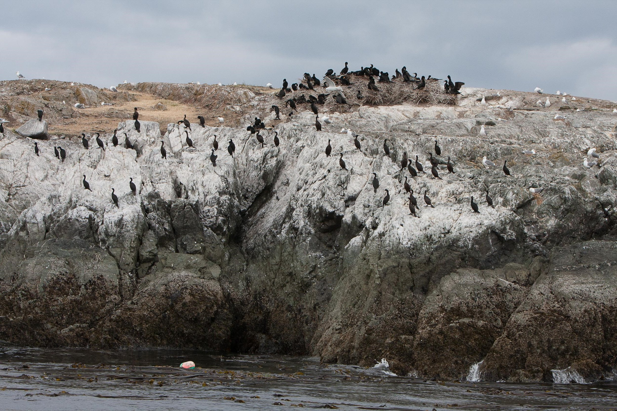 Double-crested cormorants on stick nests, pelagic cormorants on the white-washed rock wall and glaucous-winged gulls scattered on the rocky bald