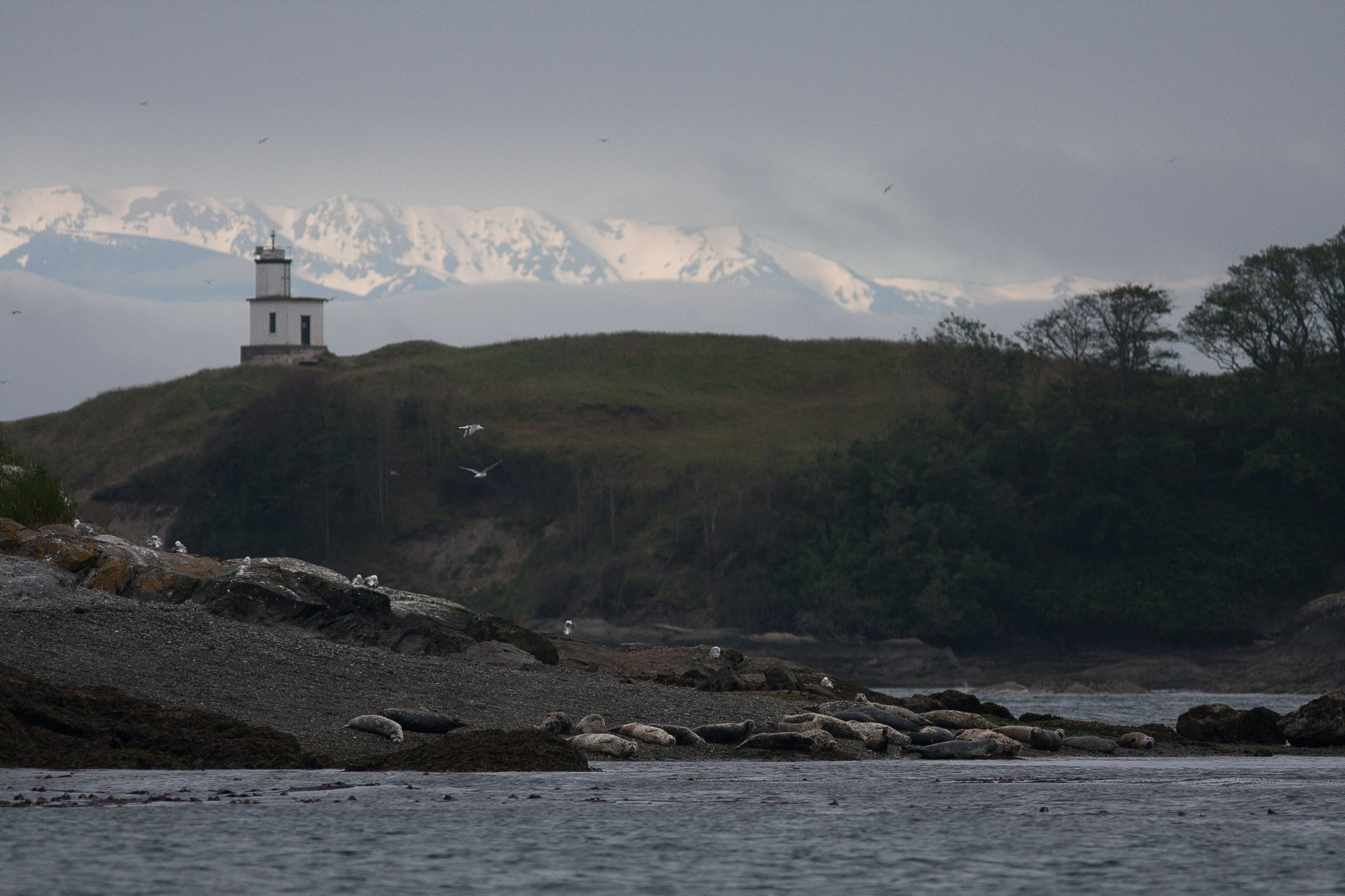 Harbor seals on Goose Island with The Olympic Mountains and Cattle Point lighthouse in the background