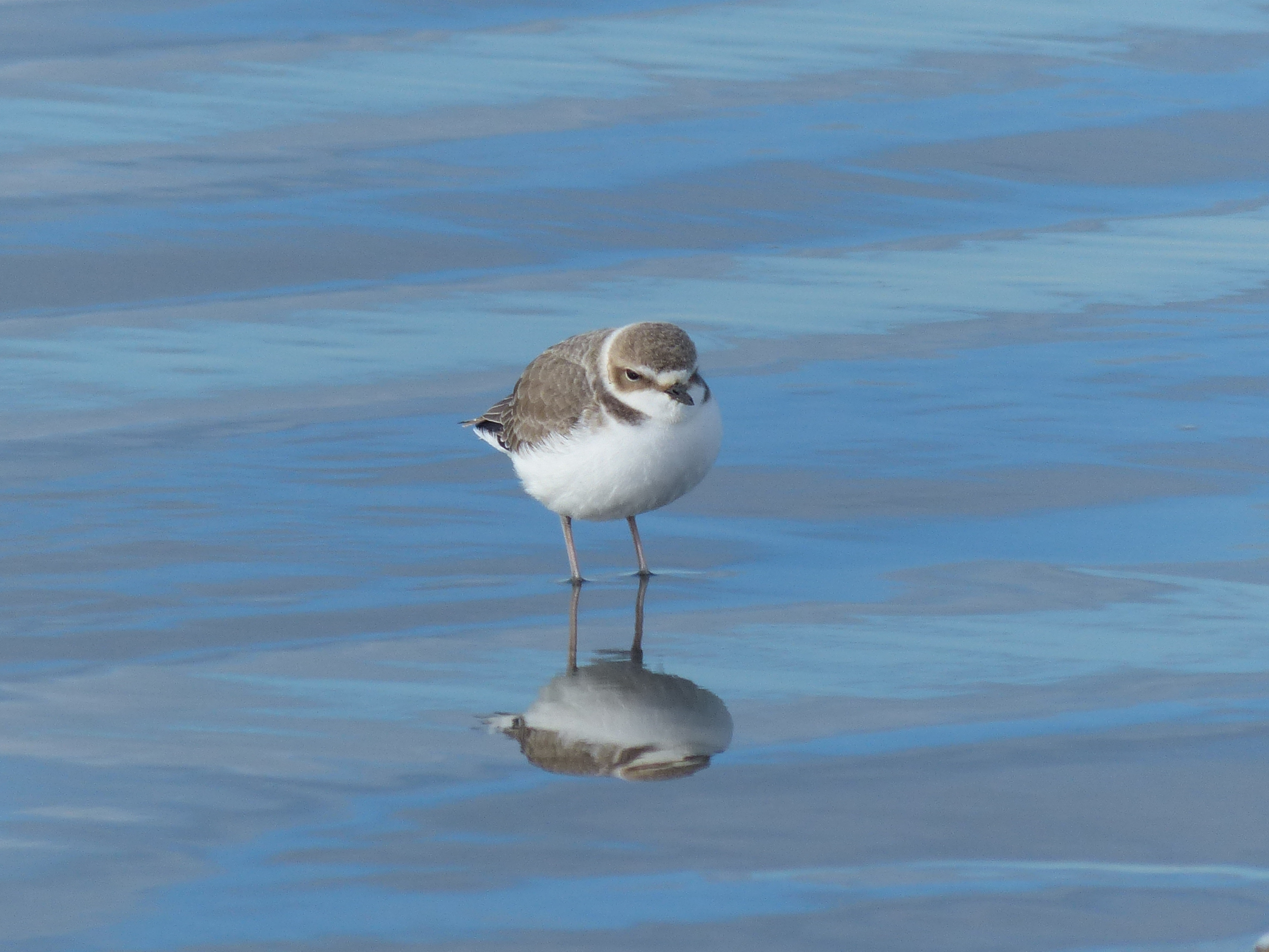 A snowy plover
