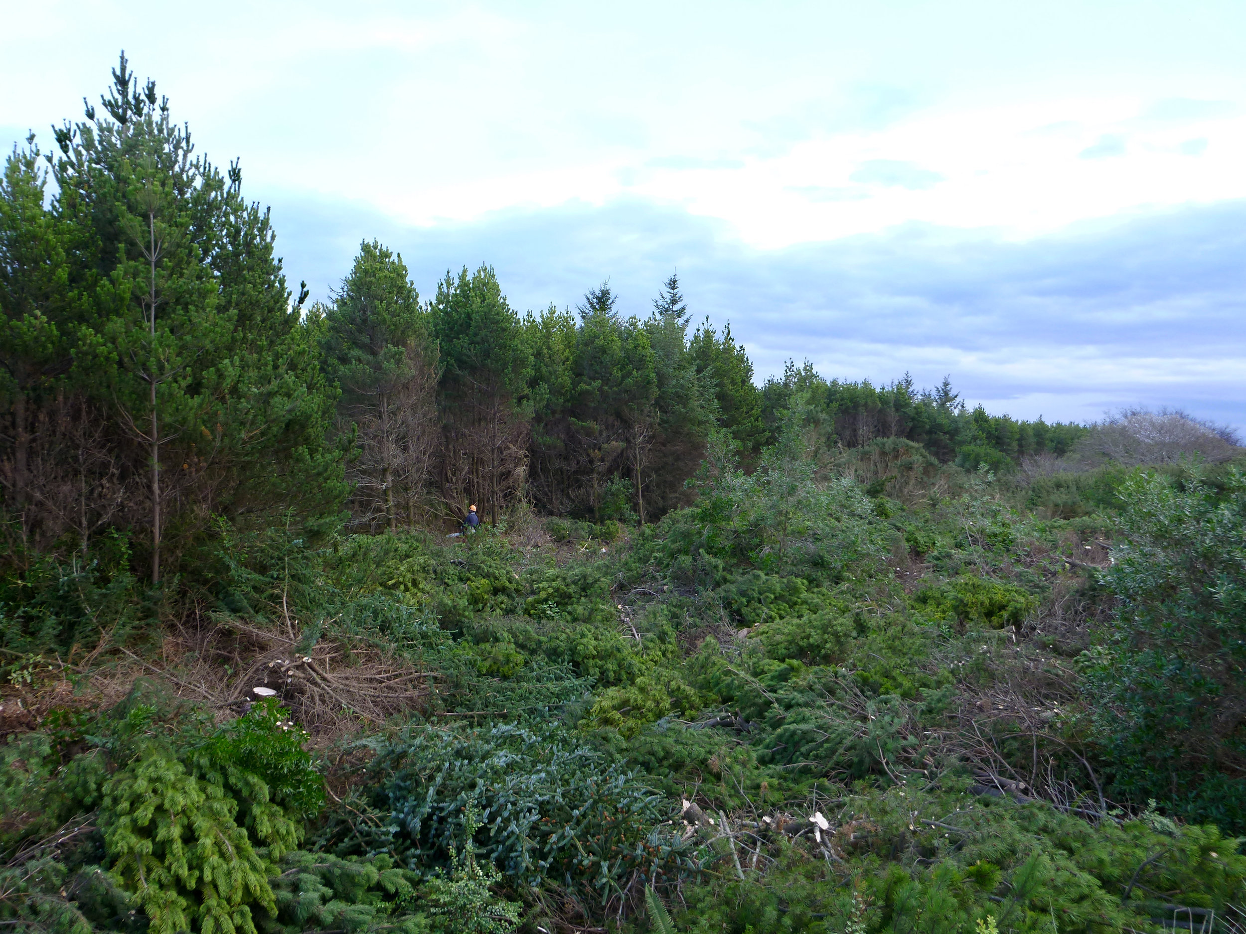 Felled trees at Leadbetter Point at Willapa National Wildlife Refuge