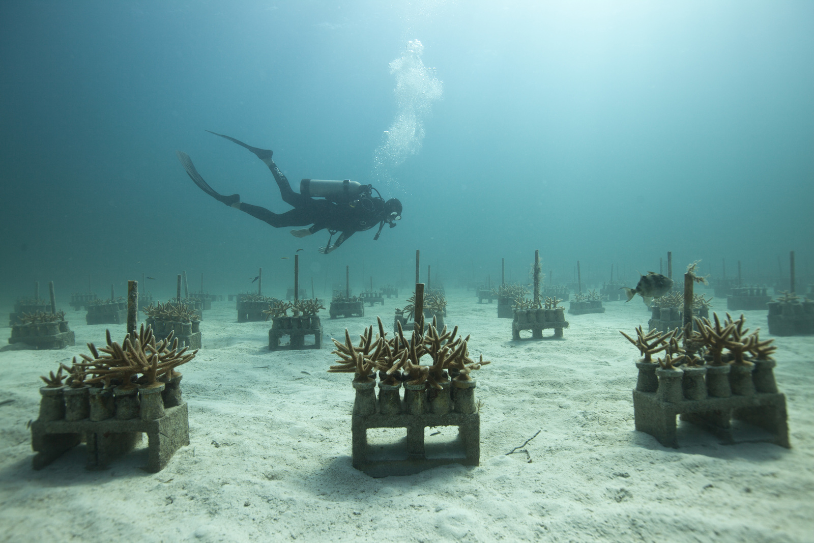 Staghorn coral was once one of the most abundant corals on Caribbean and Floridian reefs. Today, after severe losses due to coral bleaching and disease, it is listed as a threatened species. The Nature Conservancy is working with Ken Nedimyer to grow this species in his underwater nursery (Photo © Tim Calver).