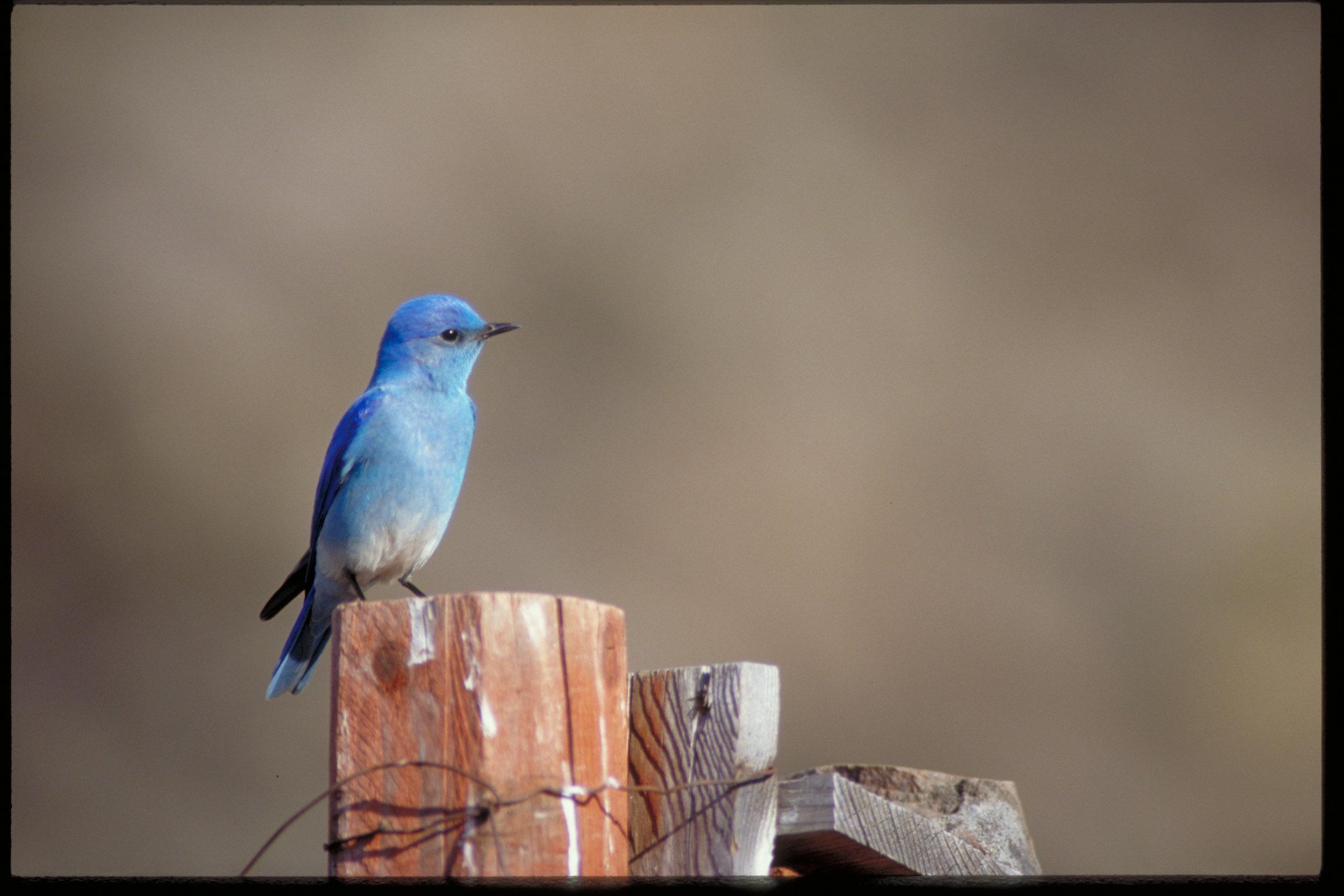 Mountain bluebird (Sialia currucoides) in shrub-steppe in Washington.(Photo ©Keith Lazelle).