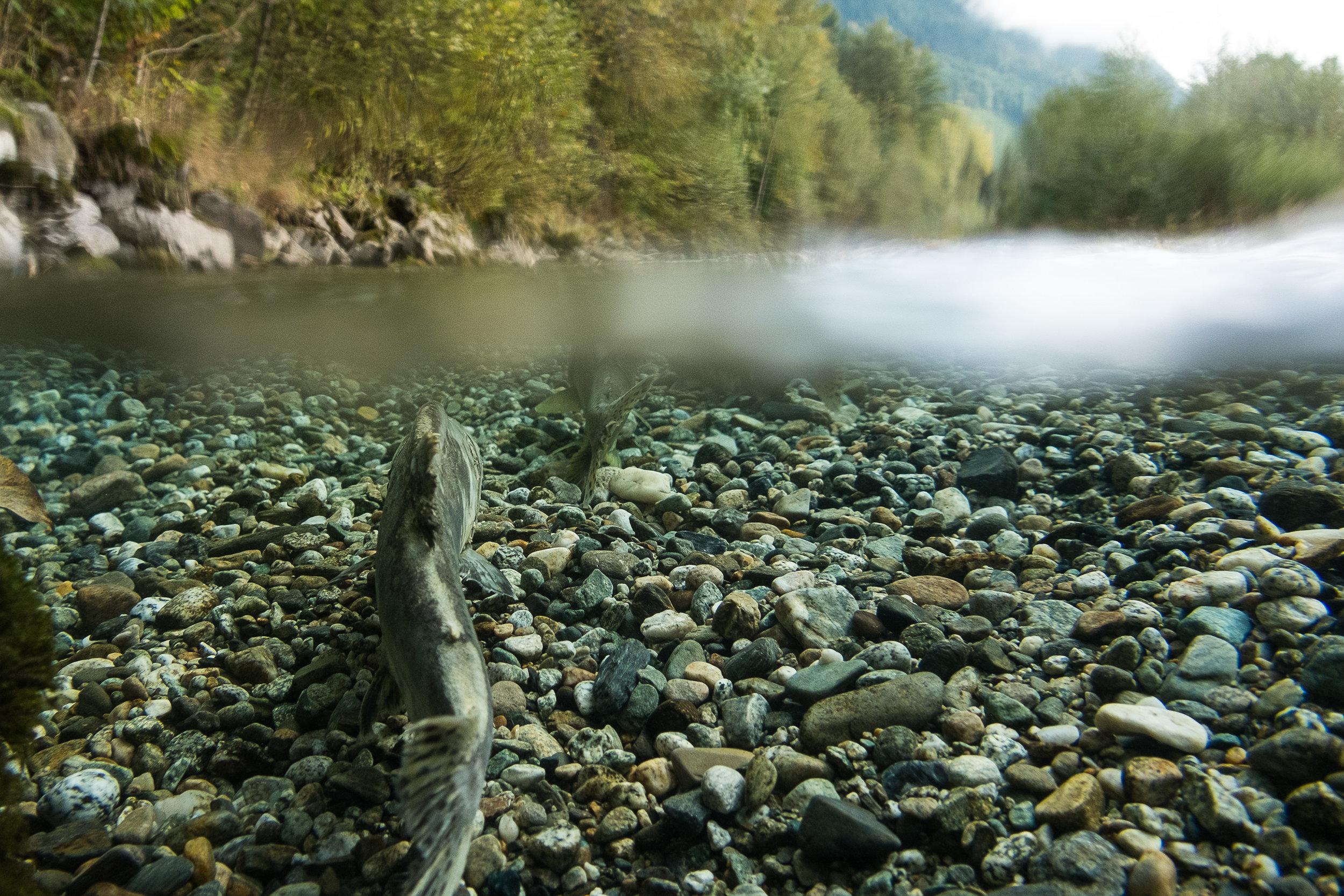 Salmon in the Skagit River.Photo © Julie Morse / TNC.
