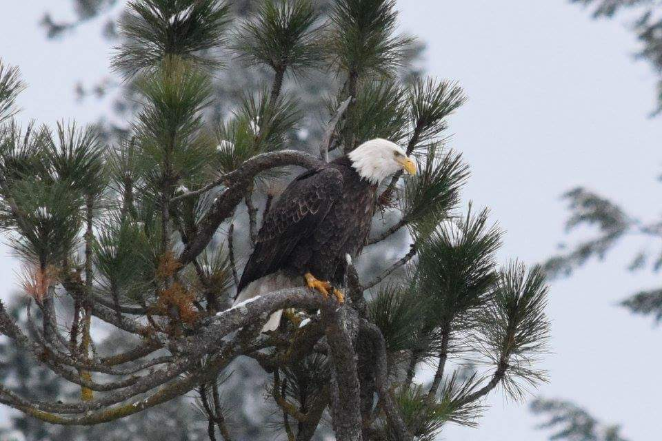 I was driving out in the flats around some farms in Skagit County and spotted this bald eagle at the top of the tree looking over the fields. I believe this photo was taken in the last week of January. Photo courtesy of David Brown