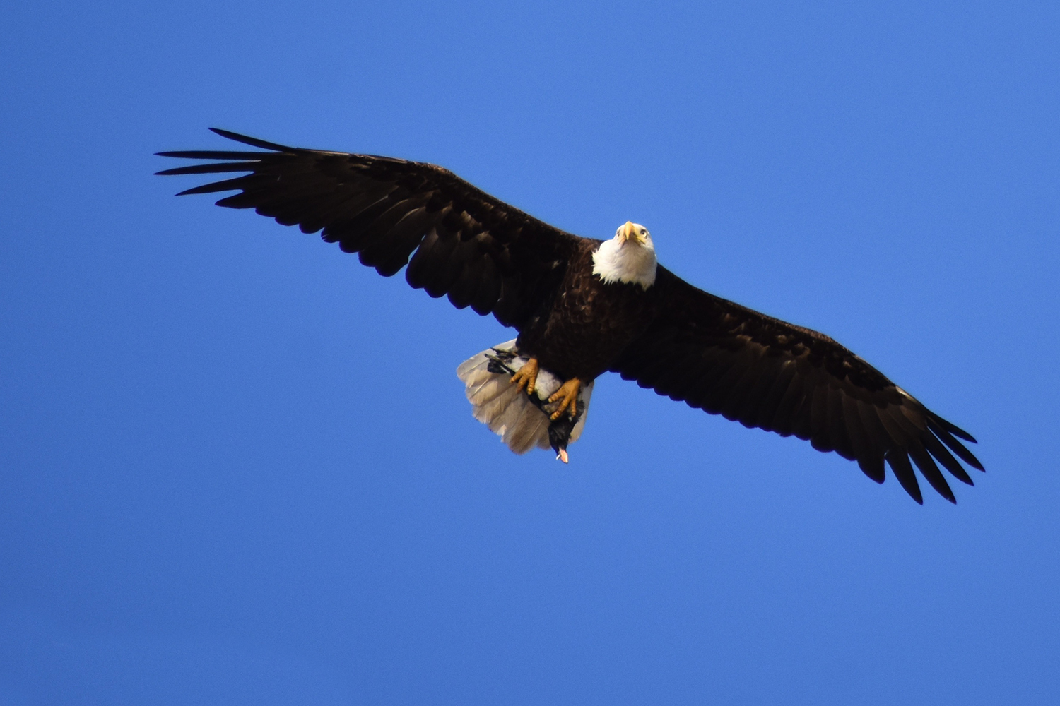 My 3-year old daughter, partner and I watched in amazement as several bald eagles picked off many birds one afternoon. They would glide just overhead with their catch. The prey nestled perfectly in the talons and just slightly smaller than the tail feathers of the eagle. (Dungeness Spit, July 2016). Photo courtesy of Lori Veres.