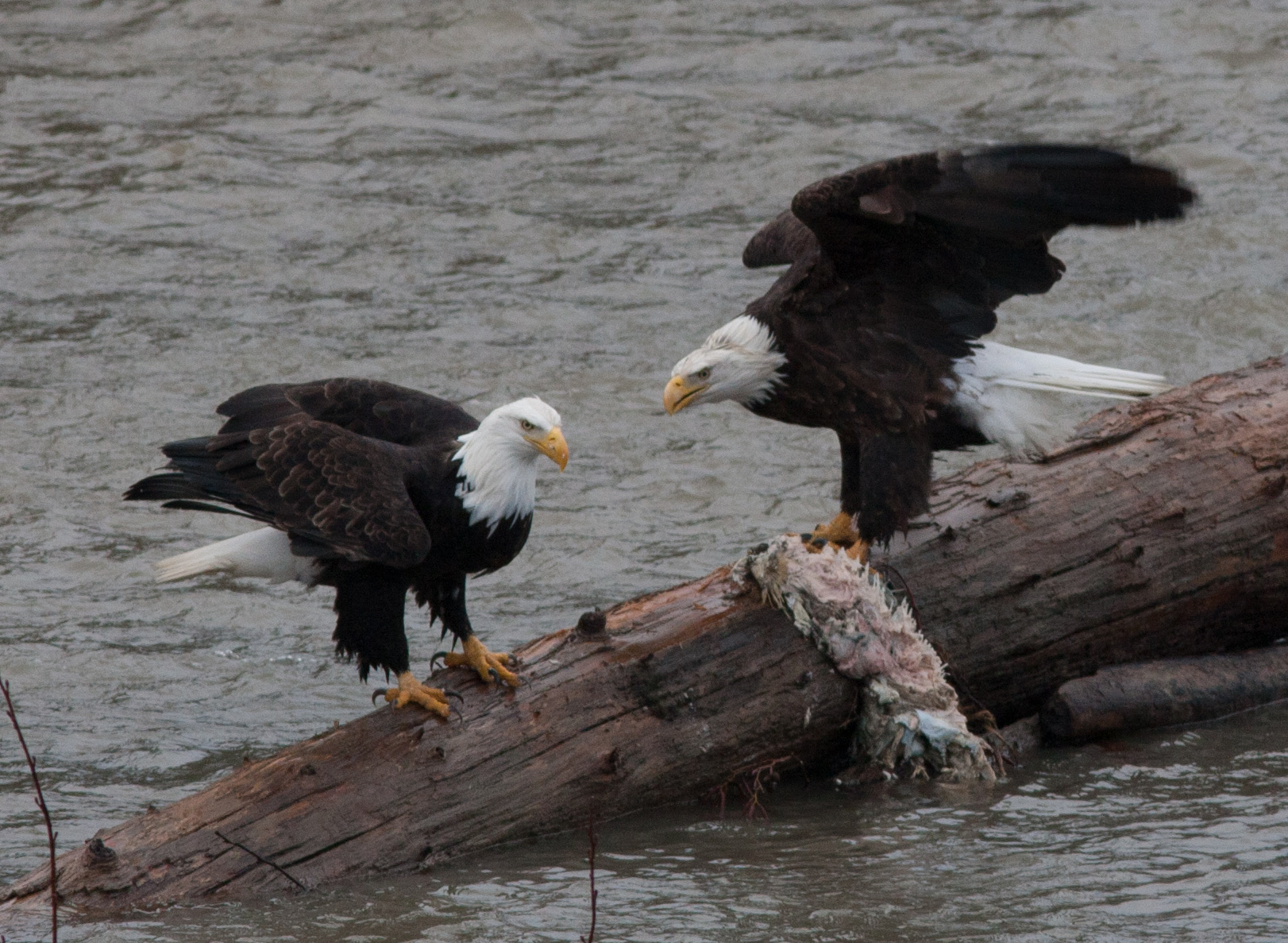 Eagles on a log on the Nooksack River with their catch. Photo by Phil Green (The Nature Conservancy's Yellow Island steward).