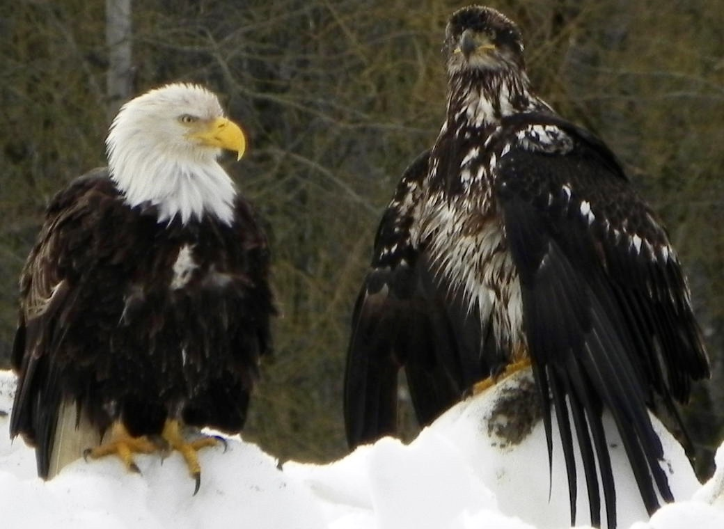 This winter eagle picture was taken near Terrace, B.C., along the Kalum River. This picture seems to be a mother eagle and her juvenile offspring. Photo by Rod McInnes.