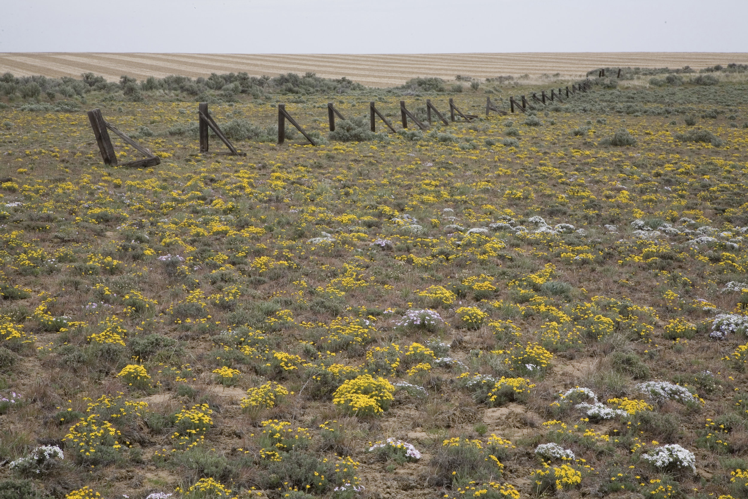 Wildflowers at the Beezley Hills Preserve on Washington's Columbia Plateau. © John Marshall