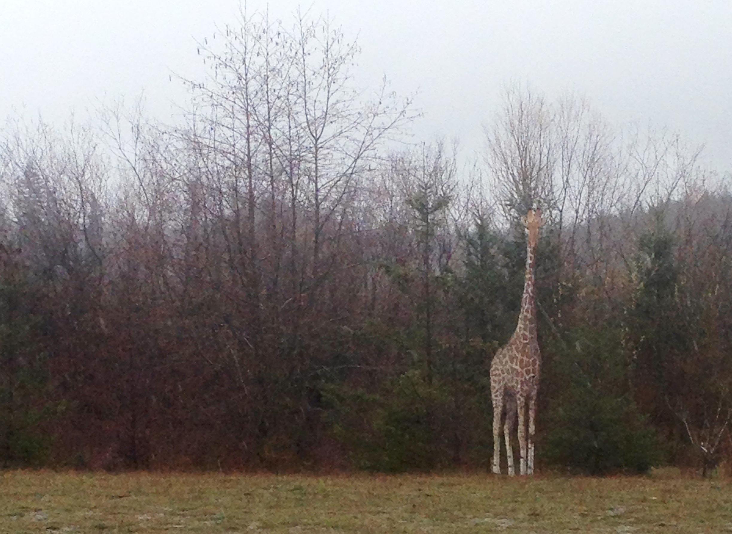 A giraffe in Western Washington? Photo by Deborah Kidd.