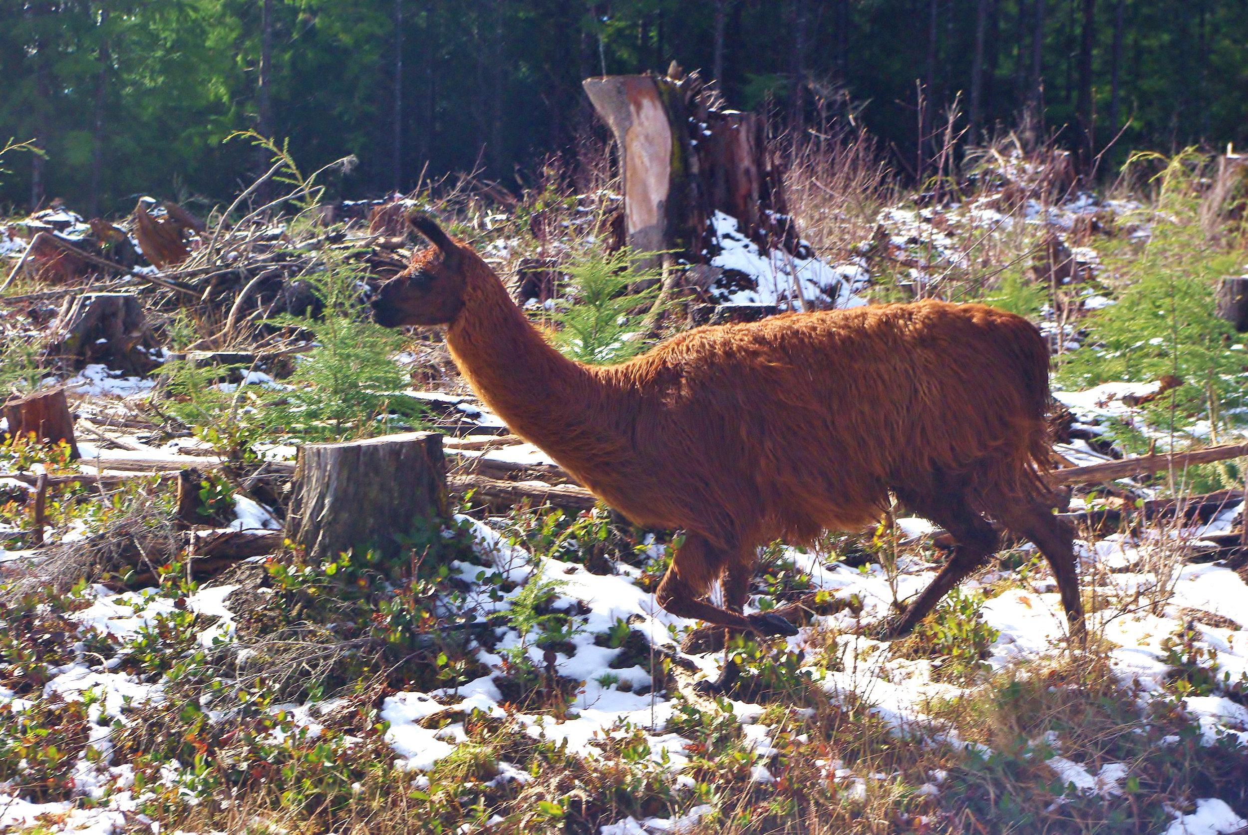 Hoh Llama.jpg