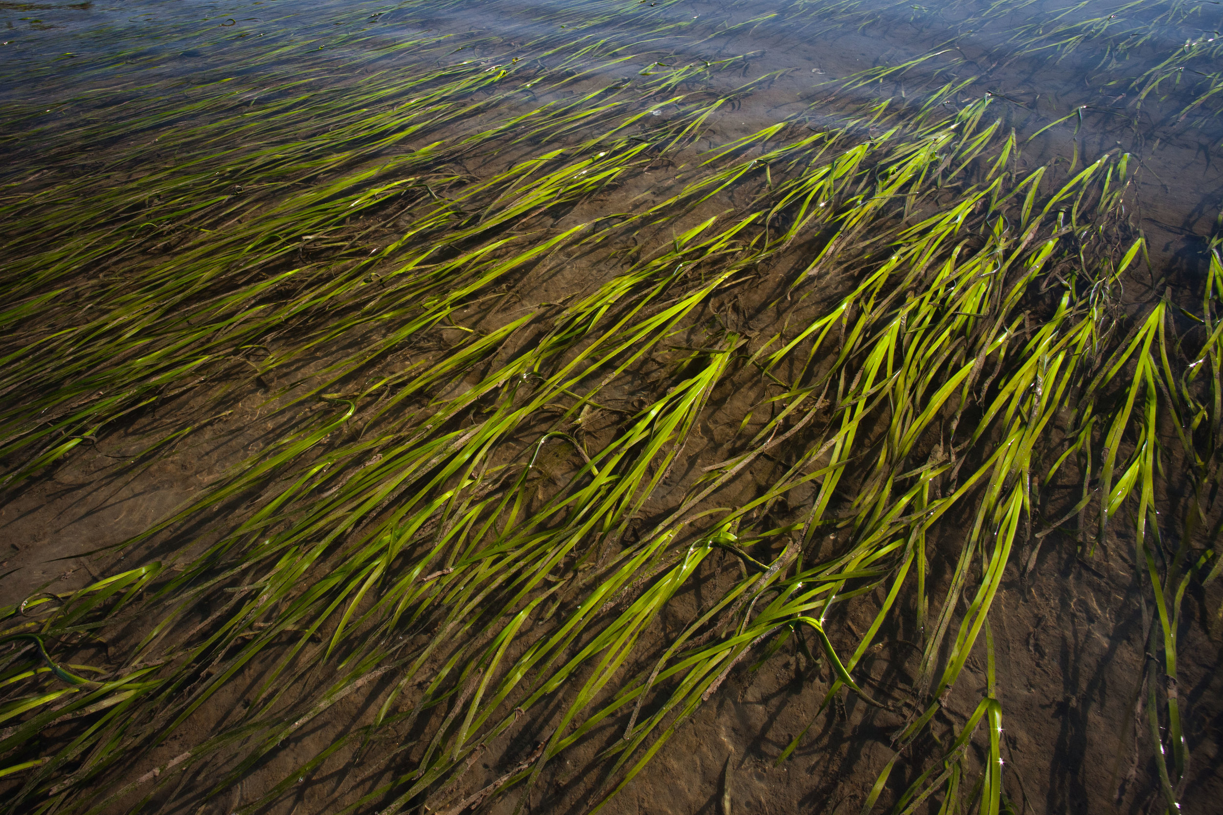 Through clear water, eelgrass can be seen anchored on the muddy shores of Barnum Point. Photo by Benj Drummond.