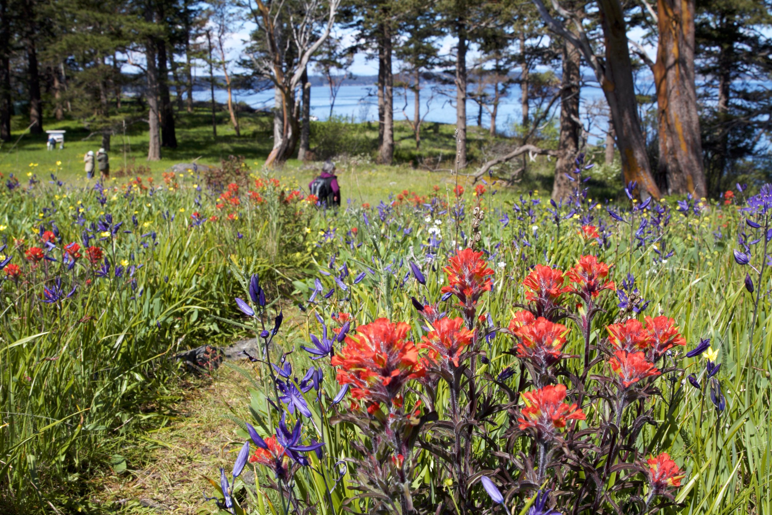 Blooming paintbrush and camas, along with buttercup in the background. Photo by Sean Galvin.