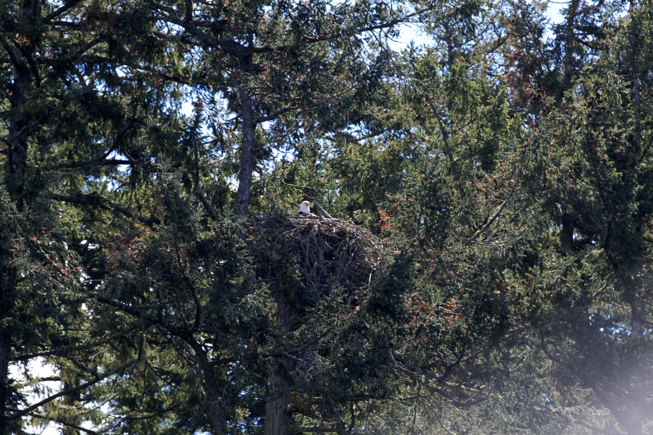 A bald eagle in its nest on a nearby island. Photo by Sean Galvin.