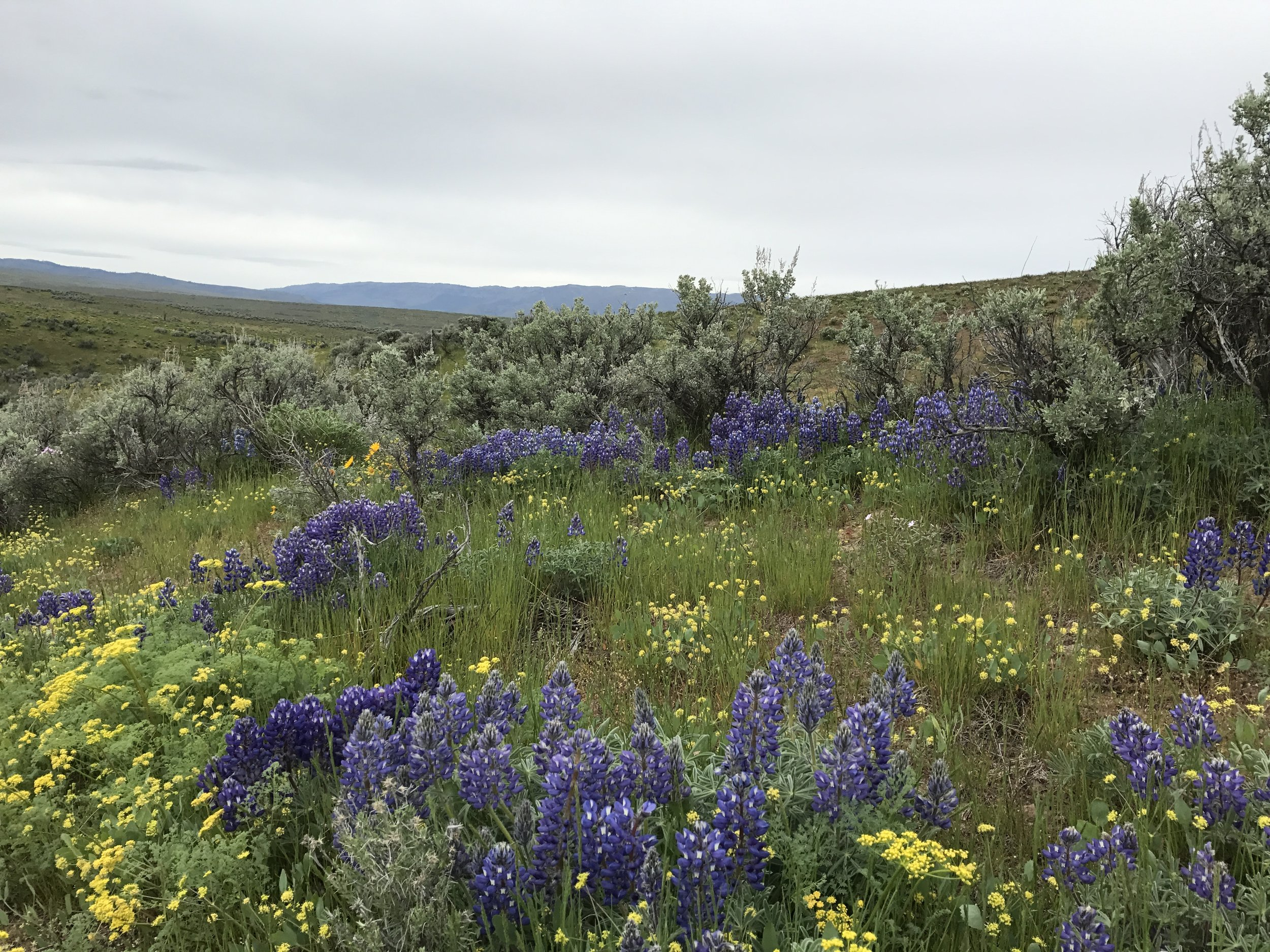 Vibrant wildflowers are among some 200 species of plants that thrive on the sagebrush landscape. Photo by Cluny McCaffrey/ ECOSS