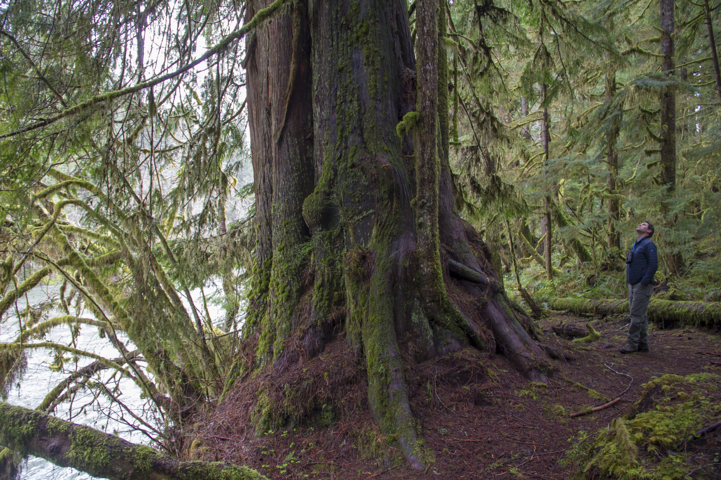 Kyle Smith looks up at old growth along the Hoh River. Photo by Joel Rogers.