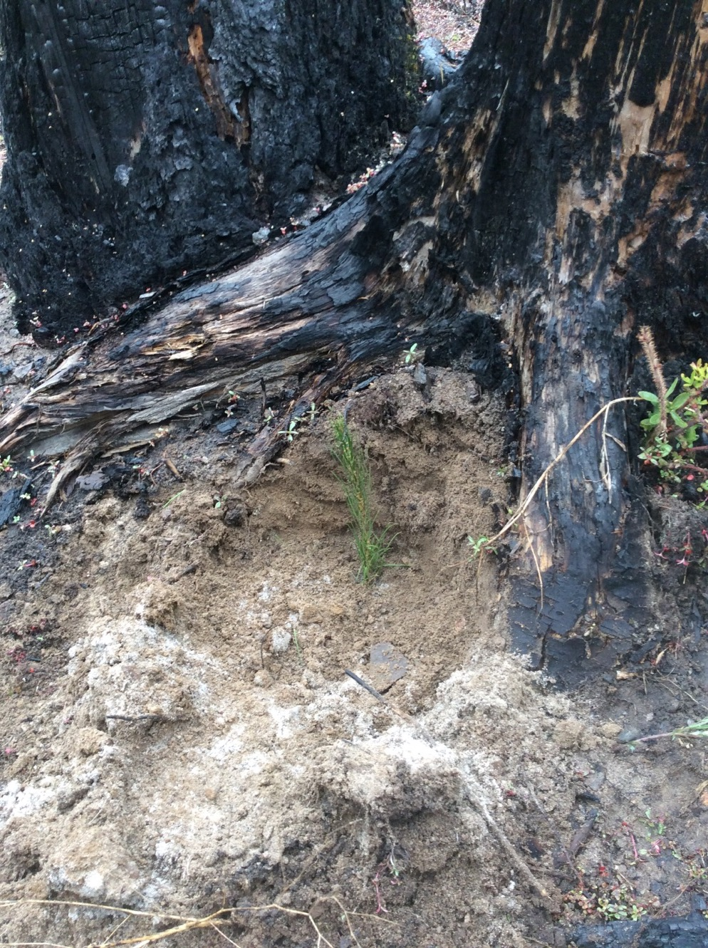 Excellent microsite planting location on north aspect of burned stump (Photo by Brian Mize)