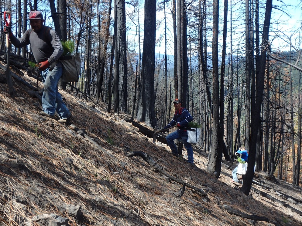 Contract crew planting trees on the Rock Creek Fire site (Photo by Greg Mackey