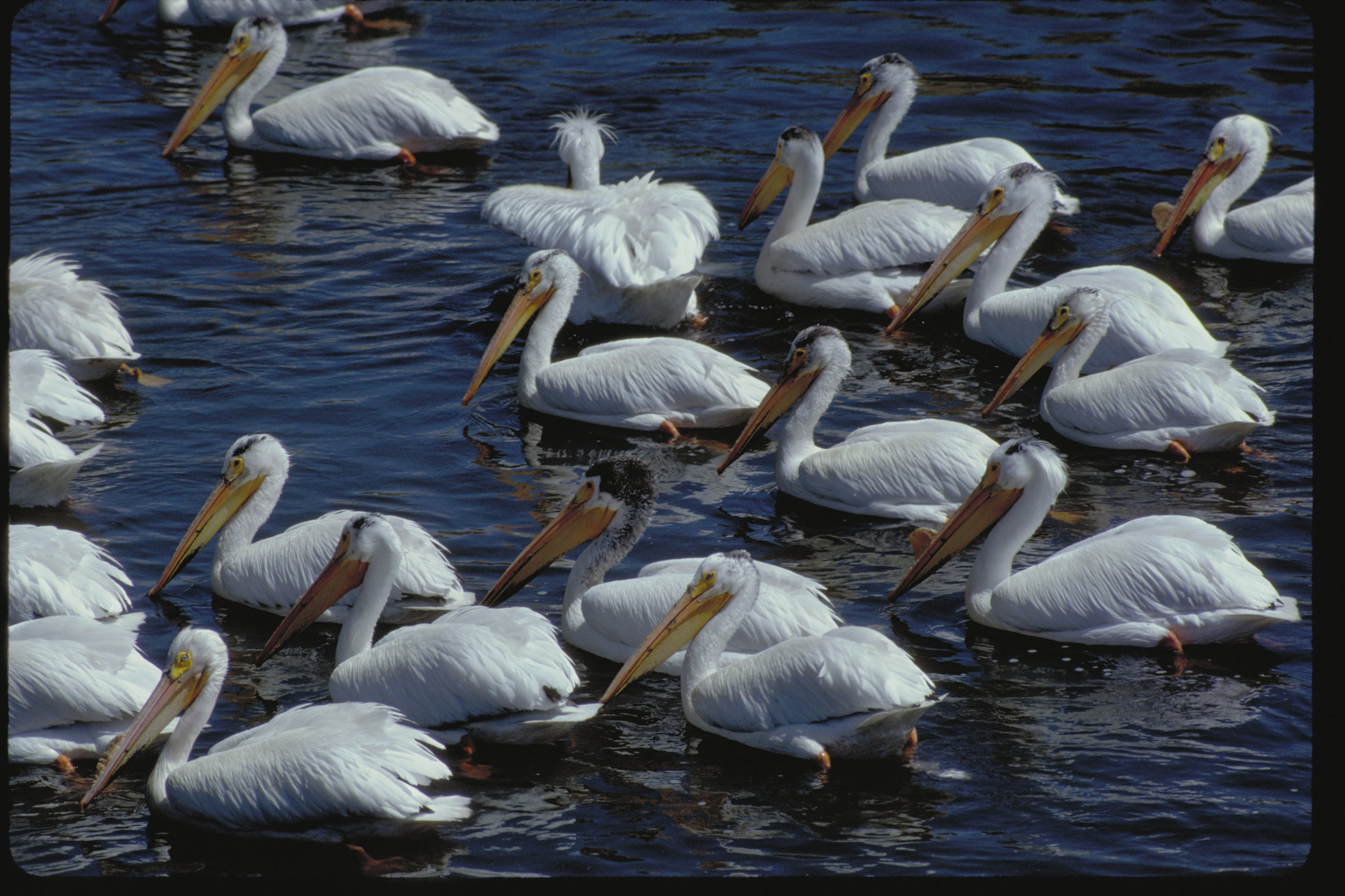 The state-endangered American white pelican breeds along the Columbia River south of the Tri-Cities, and forages much of the year on the Hanford Reach National Monument. Other birds to be found on the National Monument include osprey, egrets, bald eagles, terns, herons, and falcons — just to name a few. Photo by Keith Lazelle.