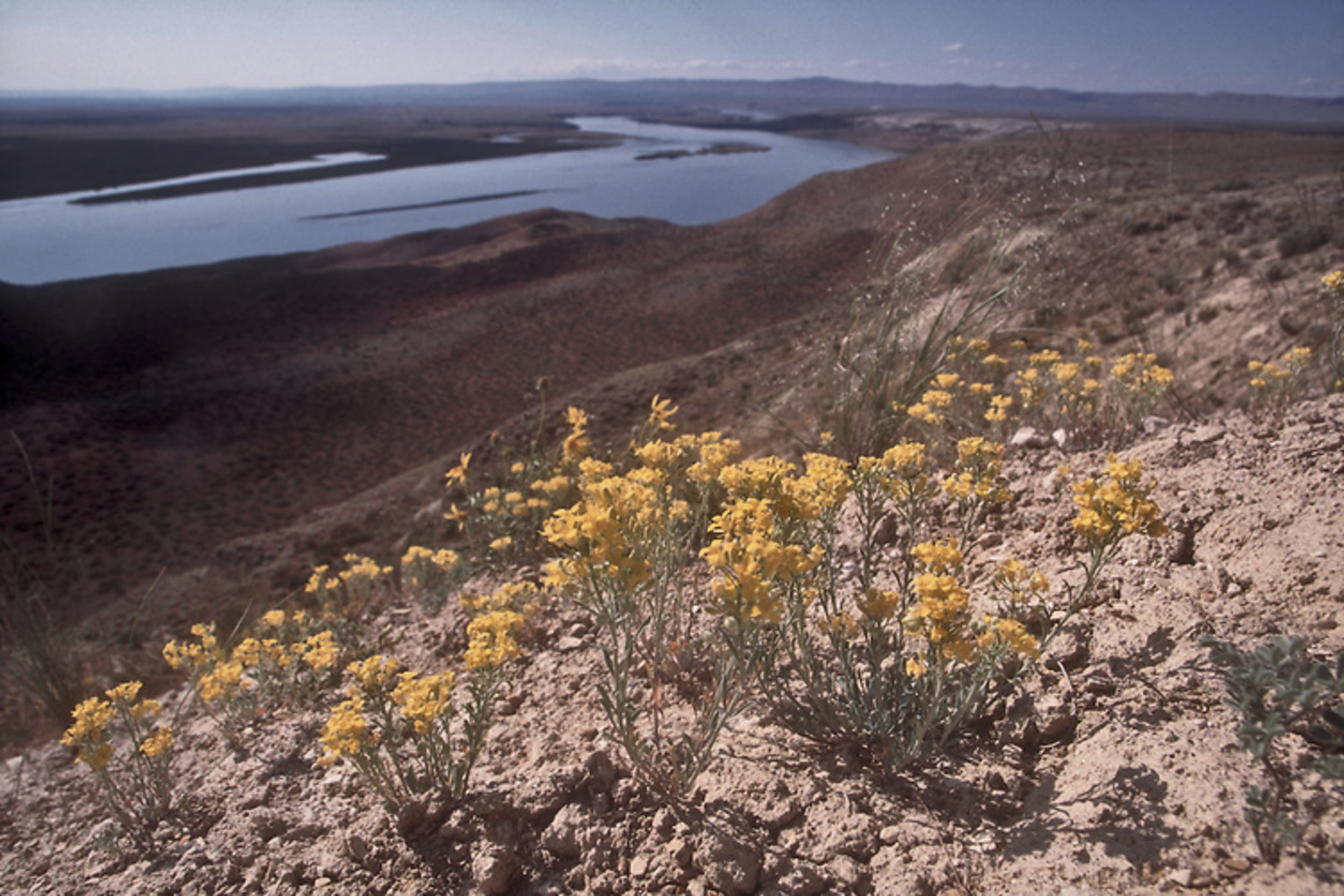 Umtanum Desert Buckwheat ( Erigonum codium) and White Bluffs Bladderpod ( Lesquerella tuplashensis), shown in this photo, were found during The Nature Conservancy's ecological inventory of the Hanford site in the 1990s. Both had been previously unknown to science, and are only known to exist at Hanford Reach. Photo by Joel Rogers 2000.