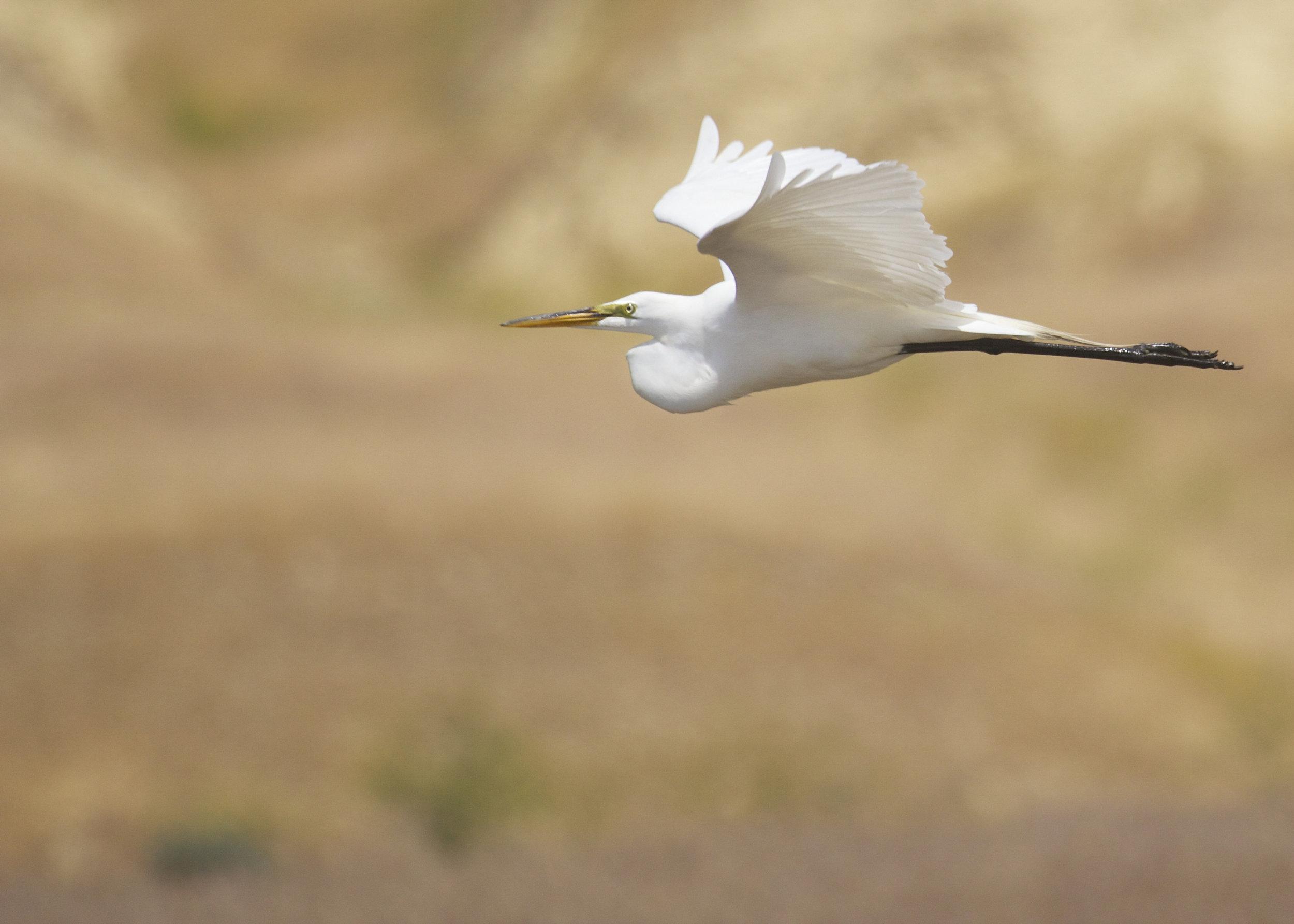 A Great egret (Ardea alba) flies through the Hanford Reach National Monument. Photo by Michael Deckert.