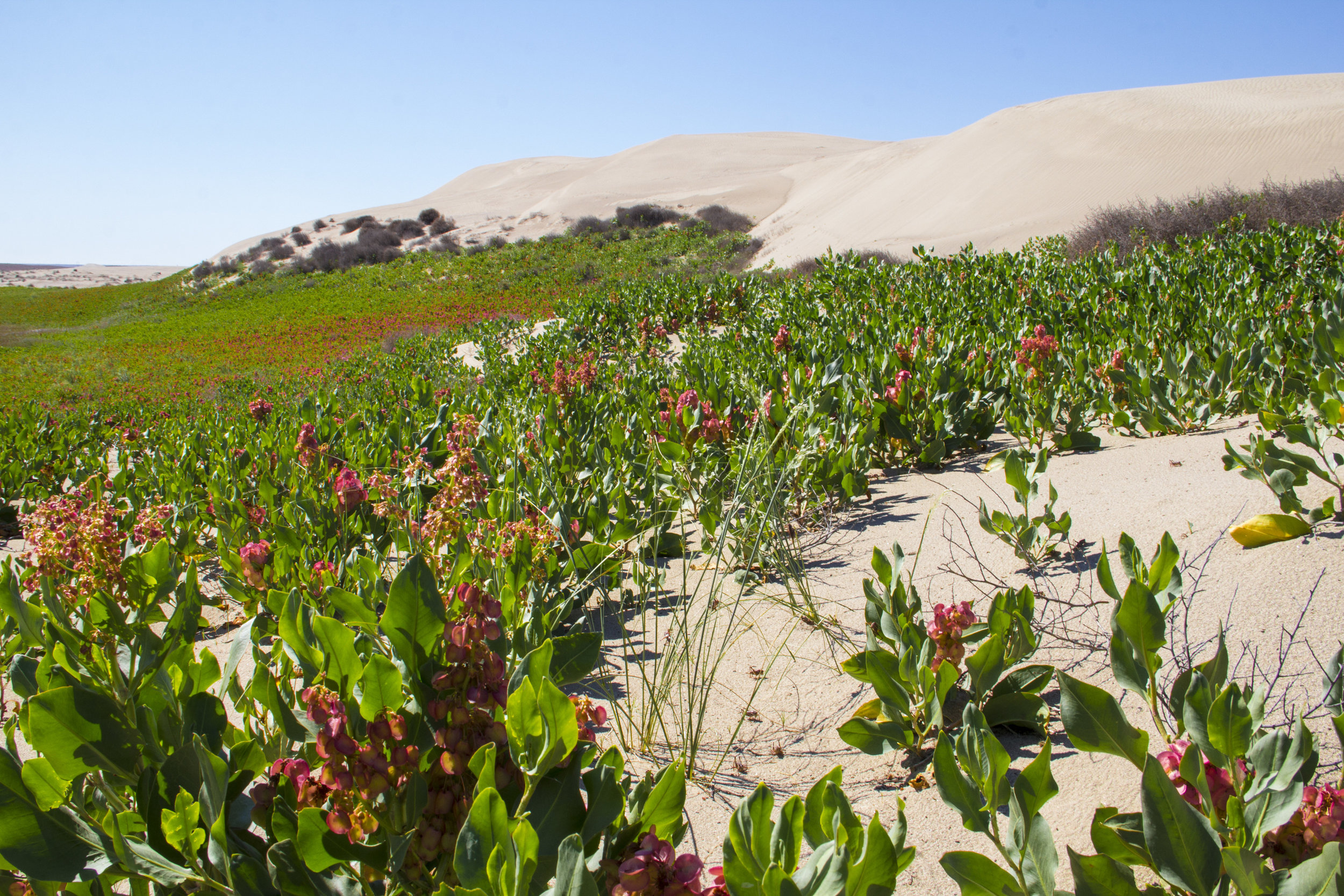 "Yes, Washington has sand dunes! Plant pictured is winged dock (Rumex venosus) ""sand dock.""  Photo by Joel Rogers."