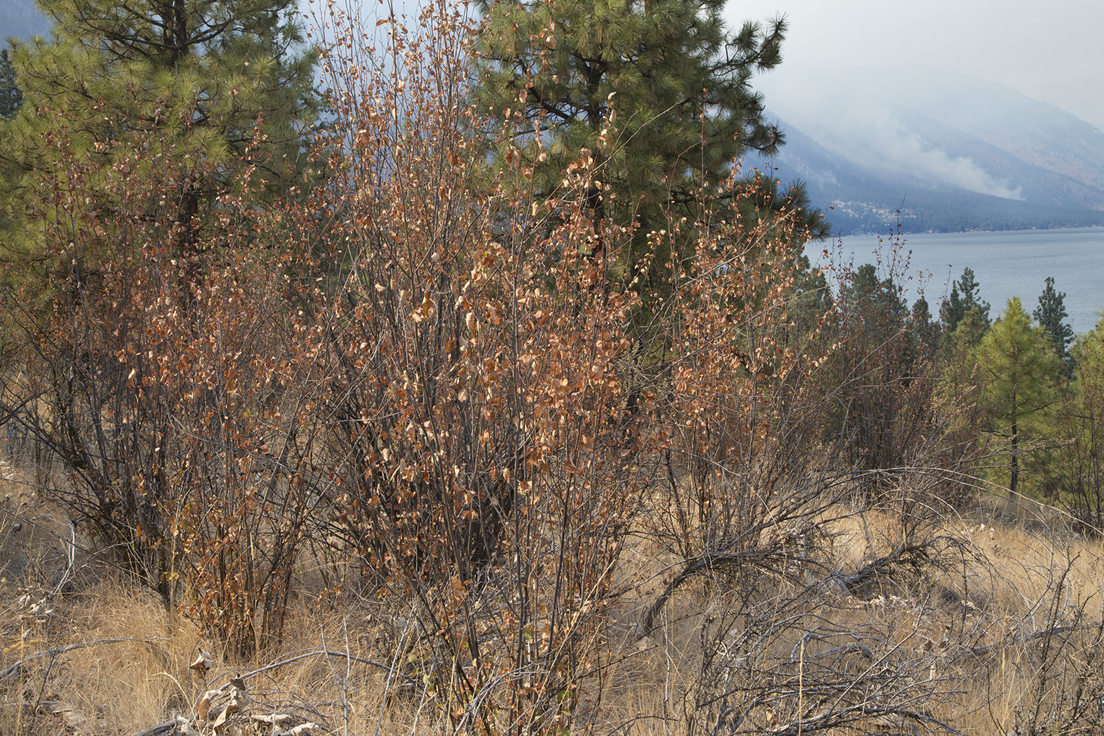 Serviceberry bushes showing signs of extreme drought, near the south shore of Lake Chelan. Photo by John Marshall.
