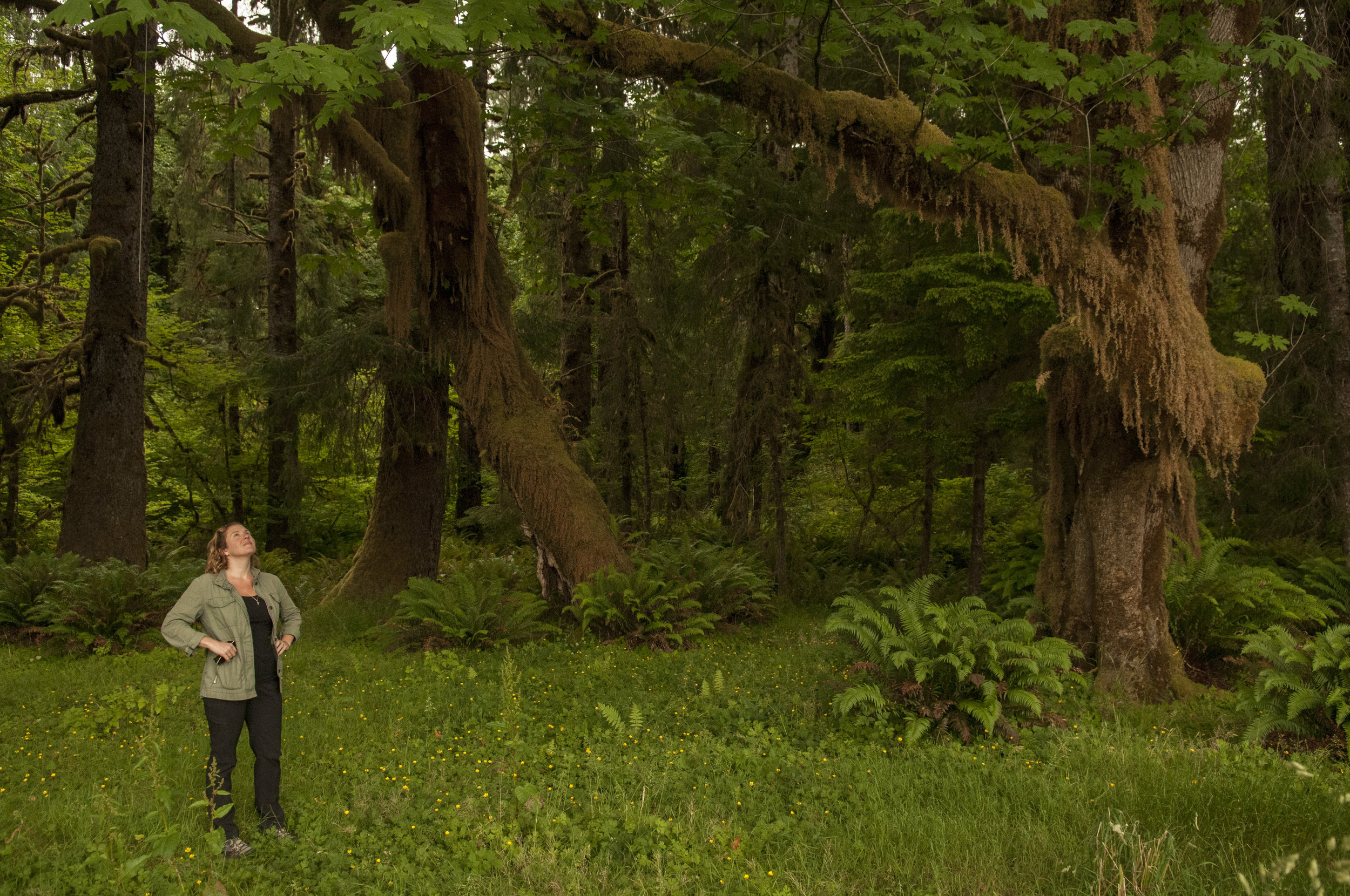 A Nature Conservancy staff member looks up at moss-covered trees near the Hoh River. Photo by Nikolaj Lasbo/TNC