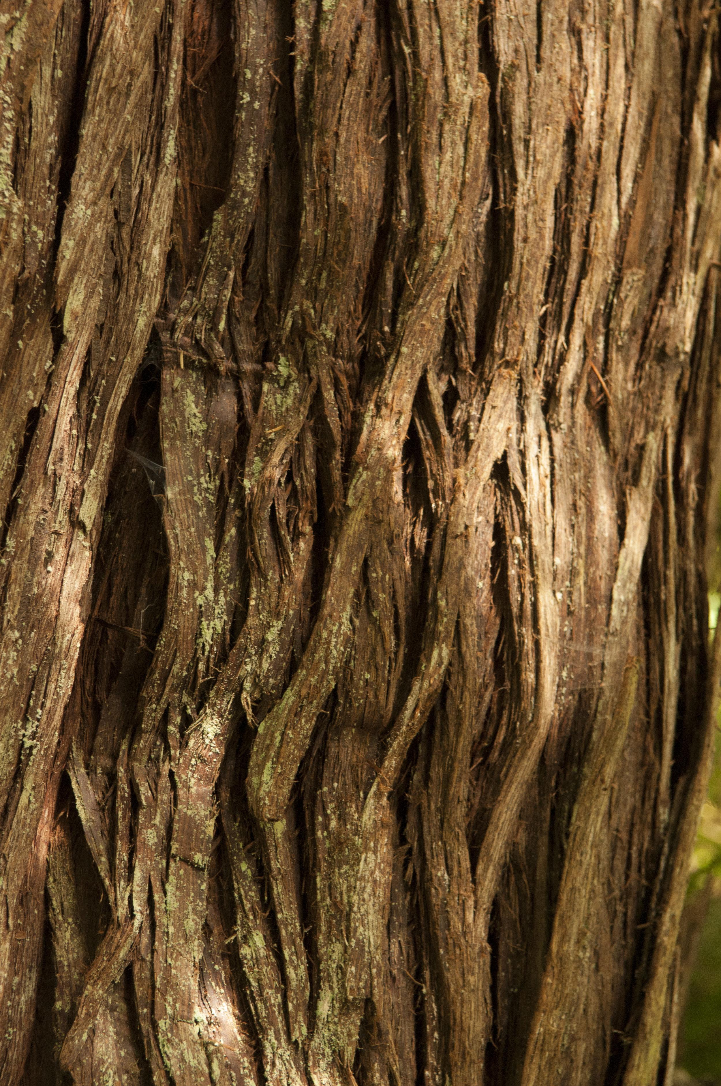 Closeup of a Western red cedar. Photo by Nikolaj Lasbo