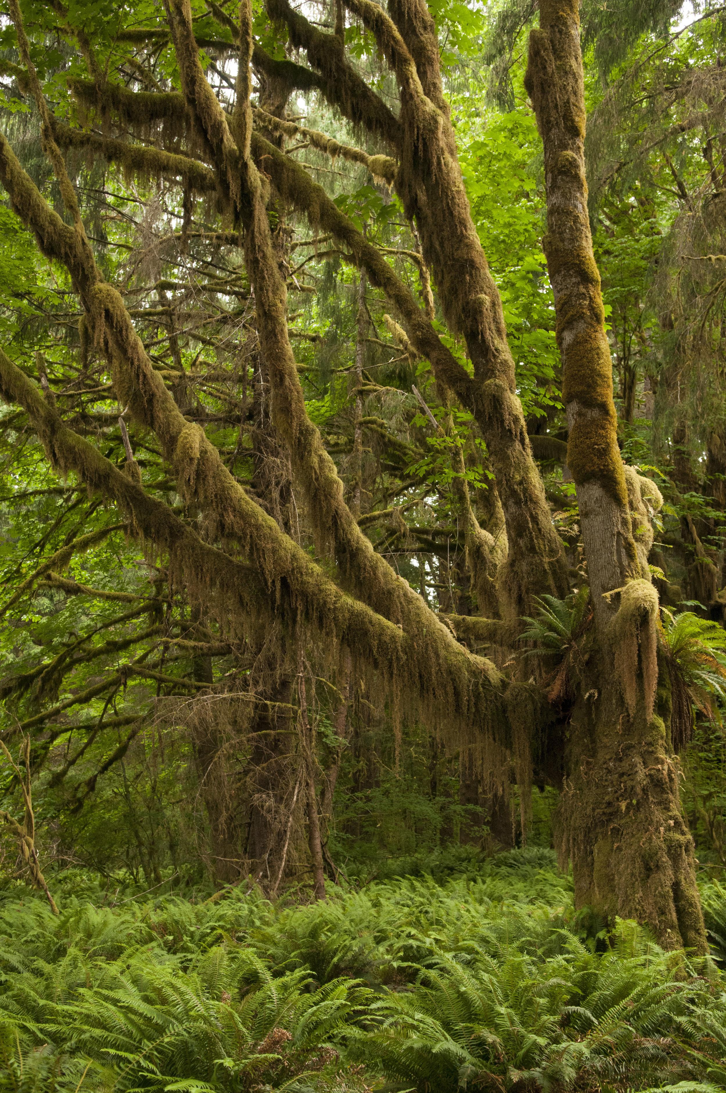 A moss-covered tree near the Hoh River. Photo by Nikolaj Lasbo/TNC