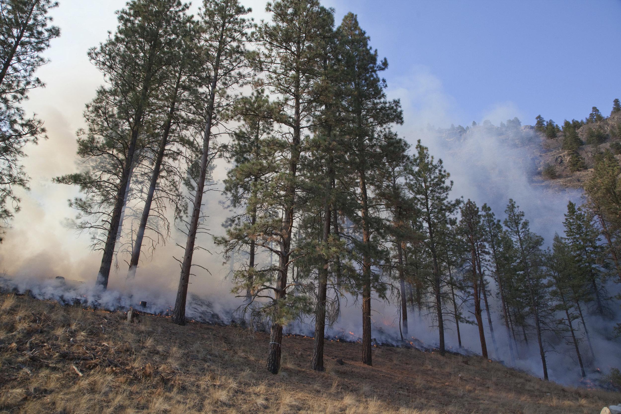 Prescribed fire in ponderosa pine forest in fall, on Sinlahekin Wildlife Area in Okanogan County. Photo © John Marshall