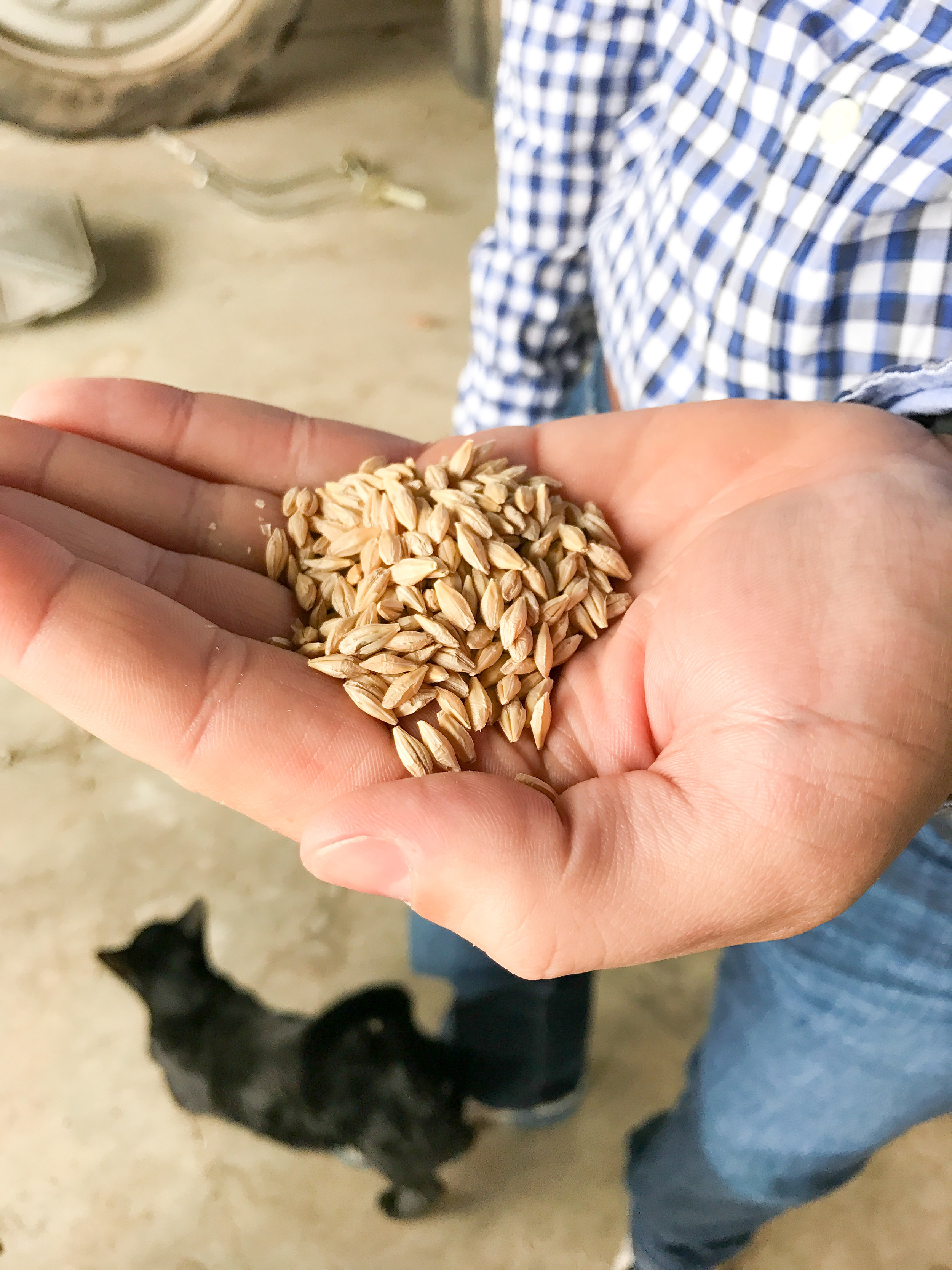 Andrew holding barley grain. Photo by Erica Simek Sloniker