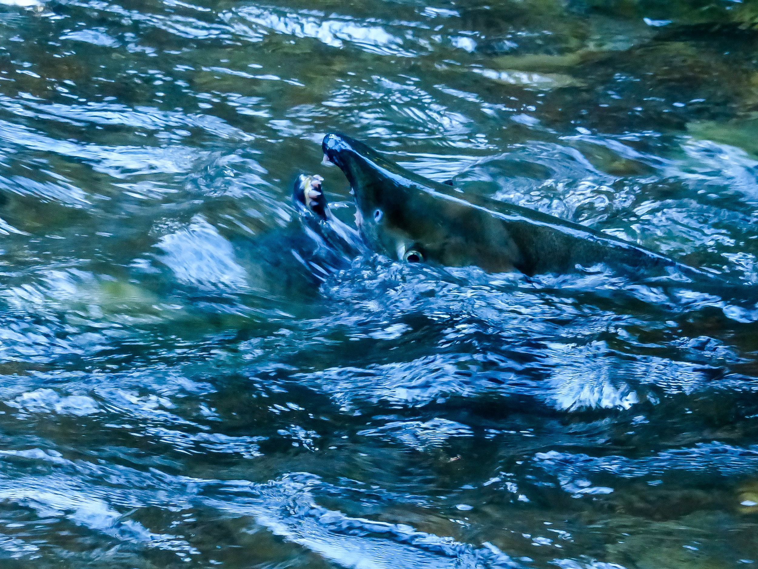 A Chum salmon braving the migration upstream after a heavy rain. Photo © David Ryan / TNC