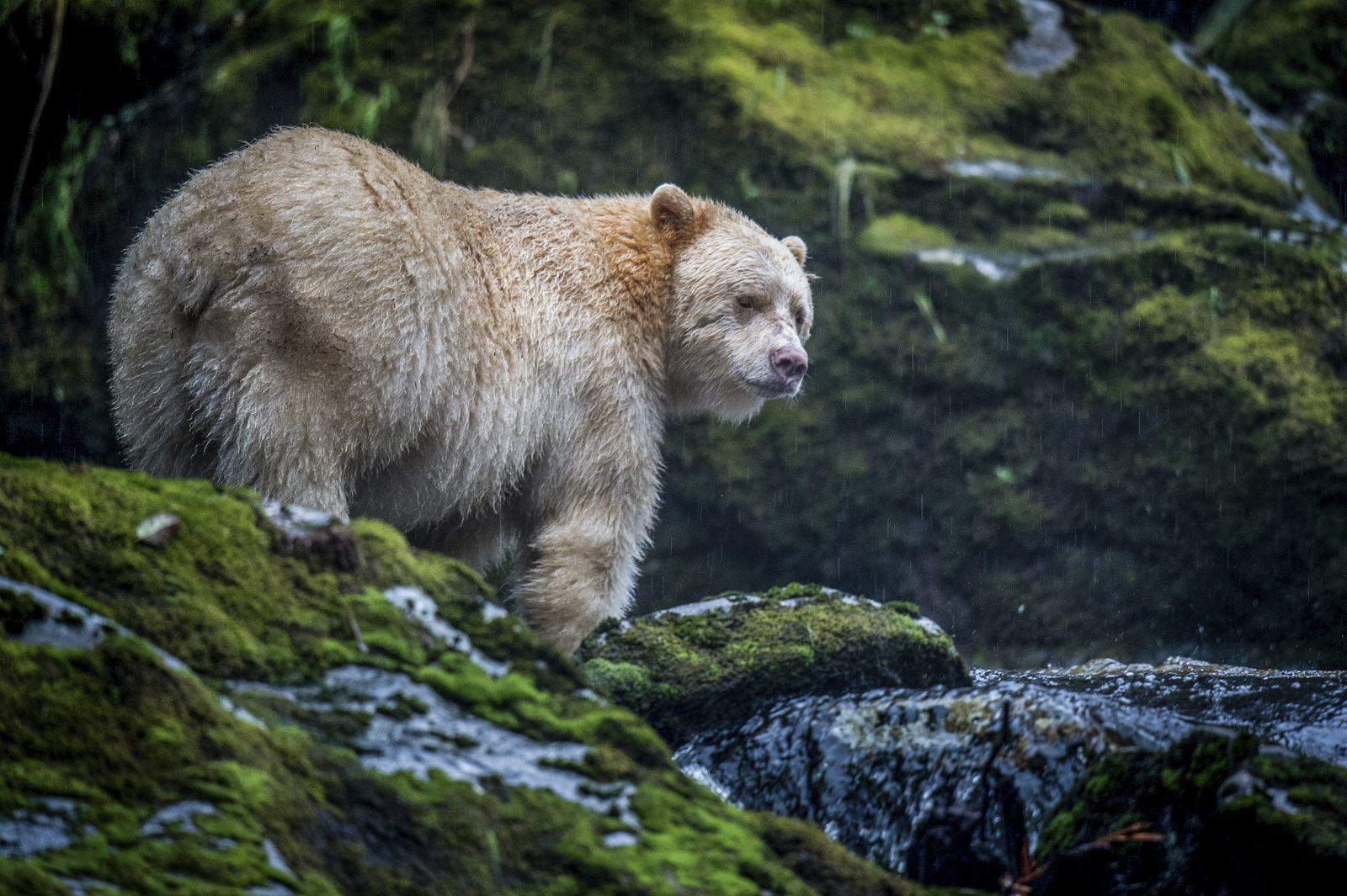 """A Kermode bear or """"spirit bear"""" (Ursus americanus kermodei) on Gribbell Island in the Great Bear Rainforest of Canada. The 21-million-acre Great Bear Rainforest is the largest coastal temperate rainforest on Earth. Photo credit: © Jon McCormack"""