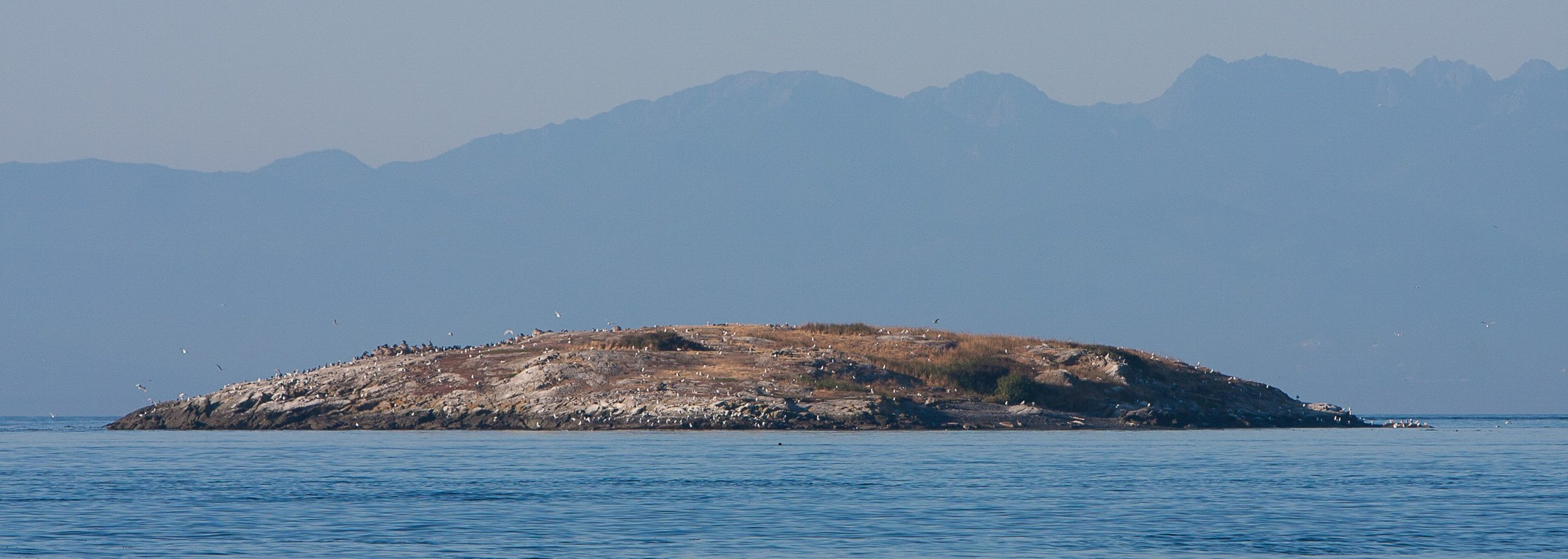 Goose Island (2008 from the north) with double-crested cormorants (upper left of the island), glaucous-winged gulls scattered across the island, and a few harbor seals on the beach (shadowed area right side of the island).Photo © Phil Green / TNC