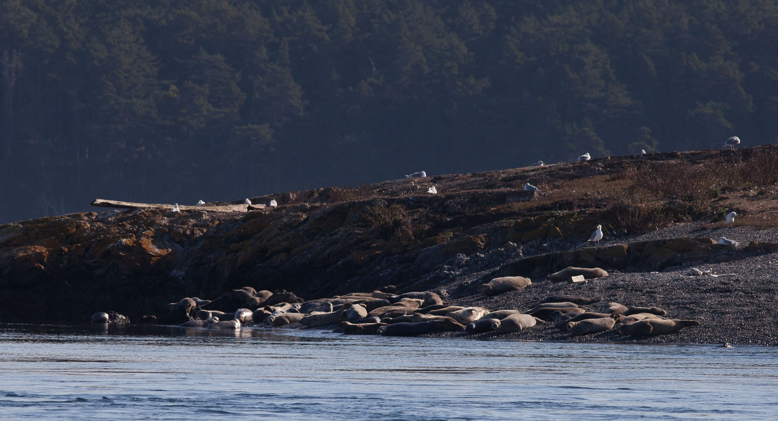 Harbor seals on the north end of Goose Island.Photo © Phil Green / TNC