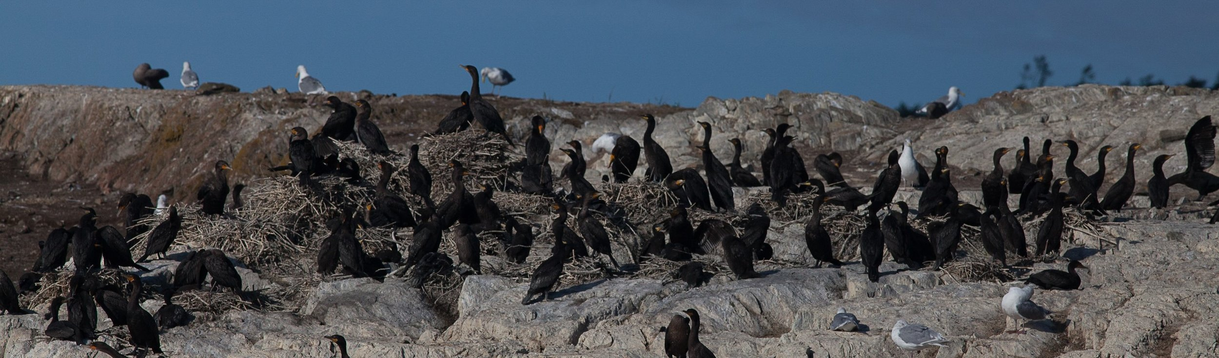 Close-up of double-crested cormorants on their nesting site.Photo © Phil Green / TNC