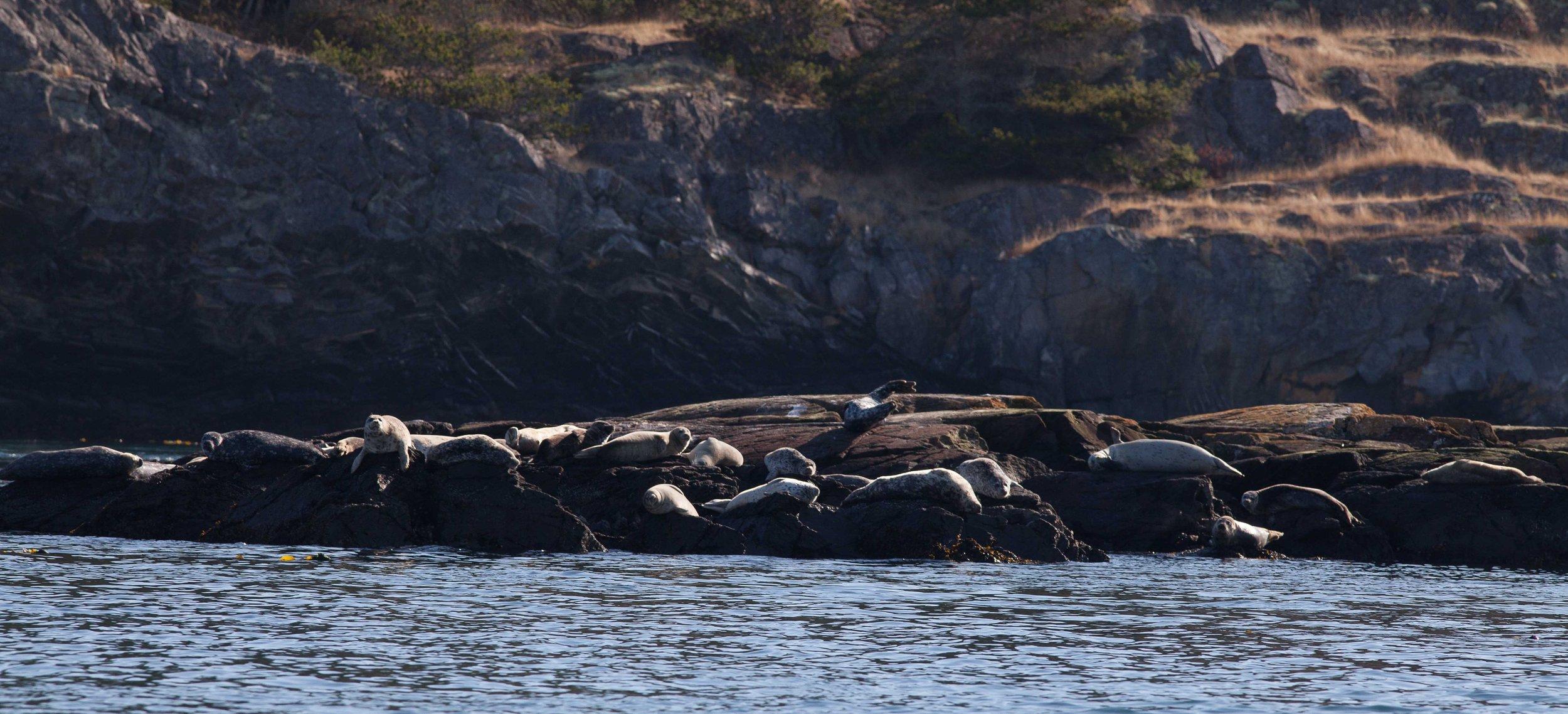 Harbor seals on Deadman Reef.Photo © Phil Green / TNC