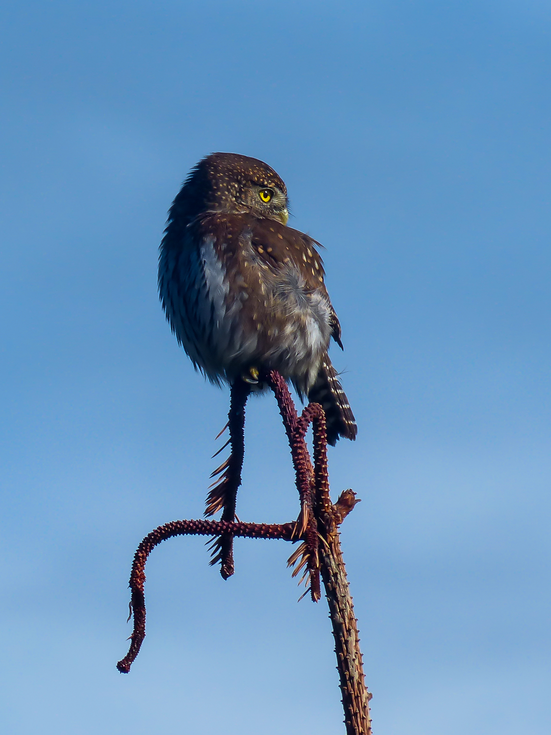 Another shot of the Northern pygmy owl spotted at Ellsworth. Photo by David Ryan / TNC