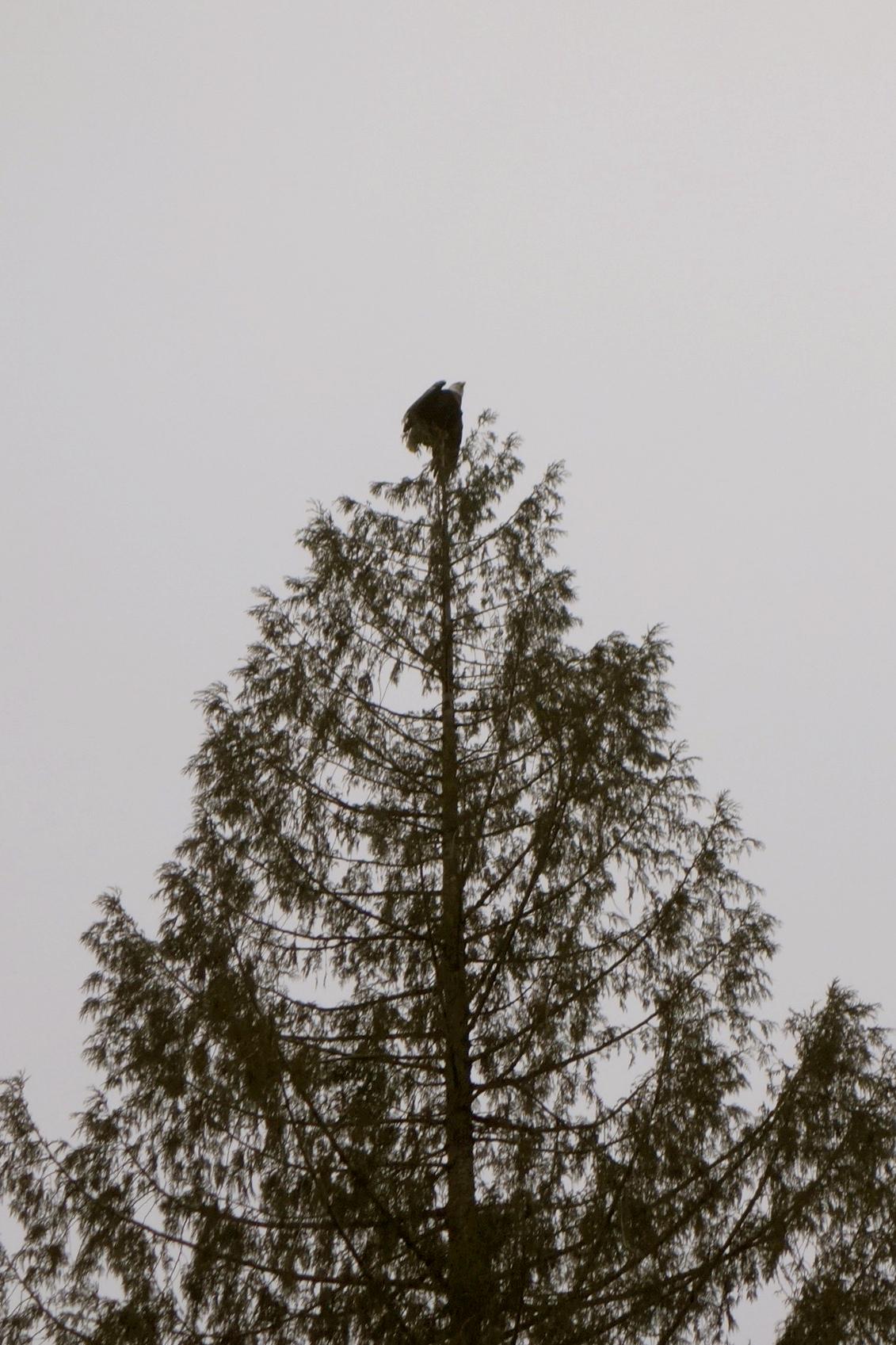 An eagle tops a tree on the Skagit River.Photo © Carol Ingram