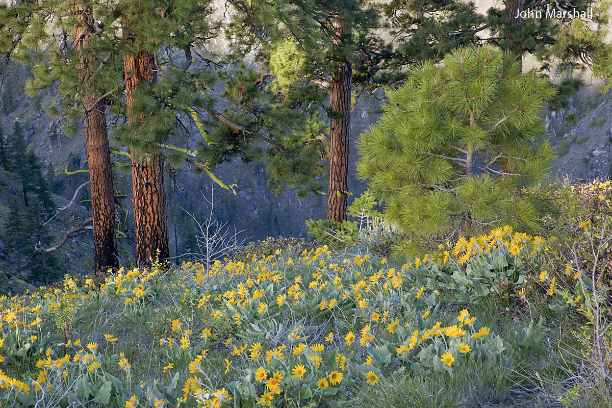 Early morning scene of ponderosa pines at edge of Mad River Canyon along ridgeline above Pine Flats Campground.  White headed woodpeckers have been seen foraging here.  Photo © John Marshall.