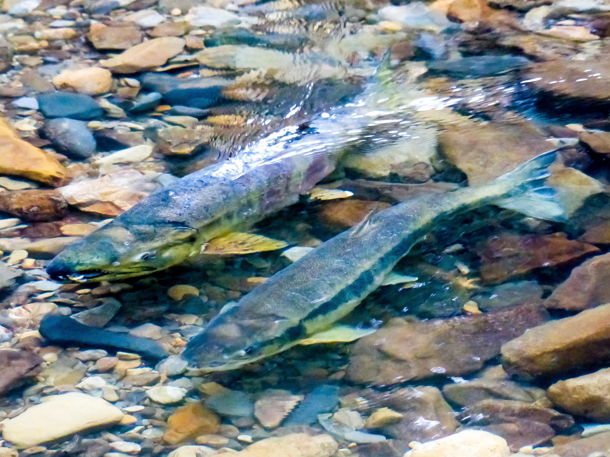 First run of chum salmon in Ellsworth Creek.Photo © David Ryan / The Nature Conservancy.