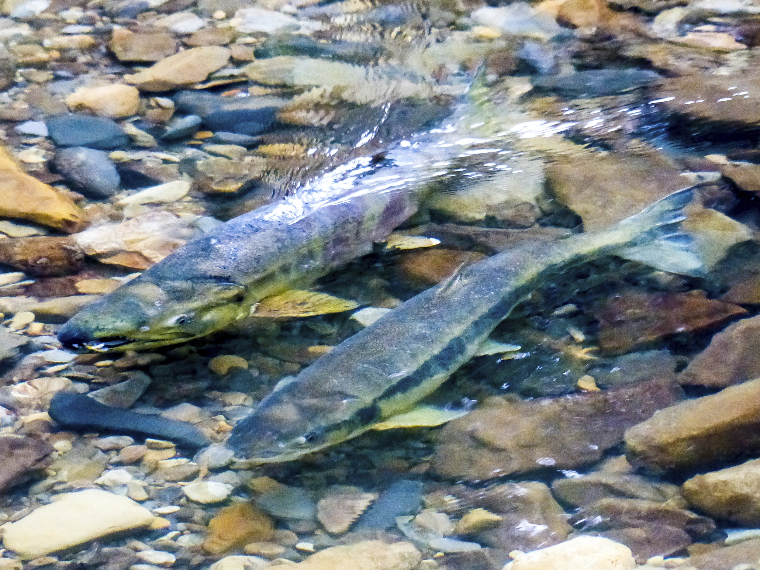 First run of chum salmon in Ellsworth Creek.Photo by David Ryan / The Nature Conservancy.