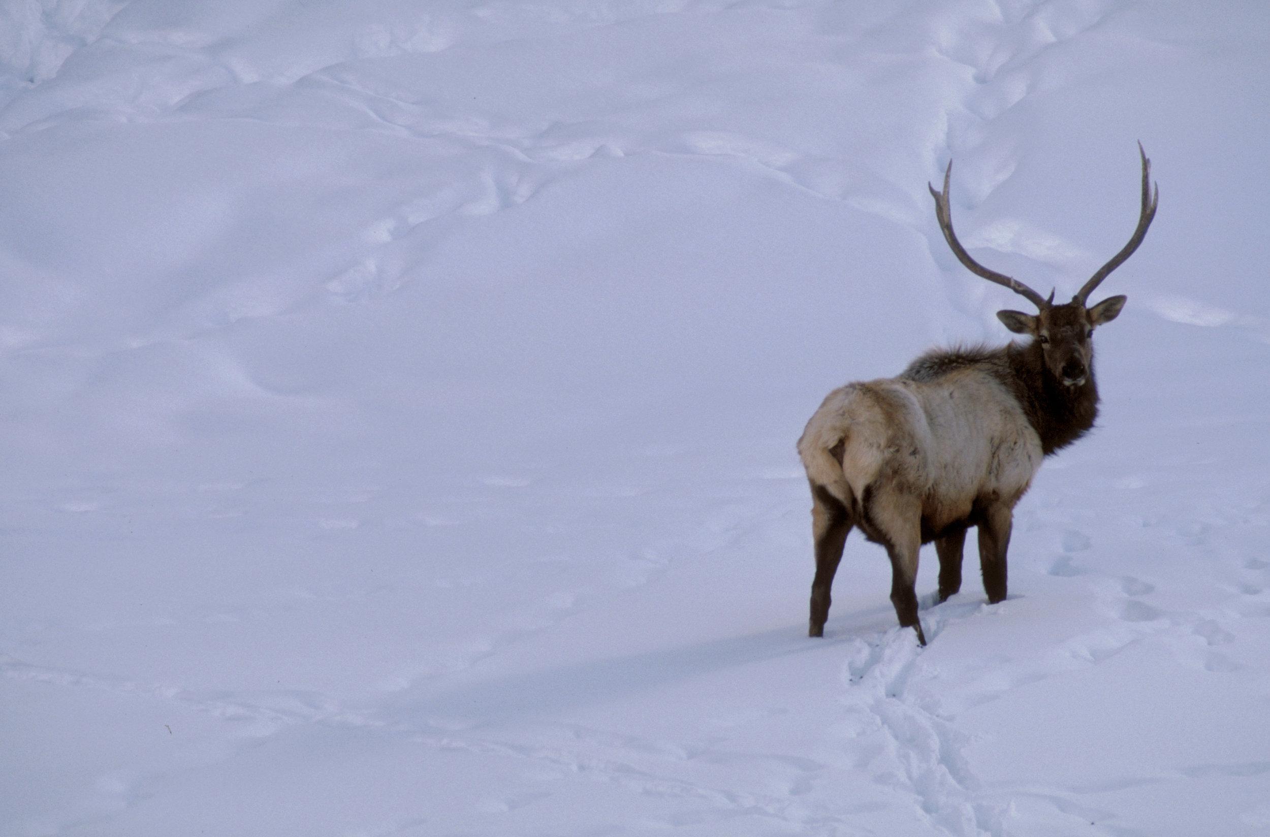 Winter elk standing in snow in Eastern Washington. Photo © Keith Lazelle.